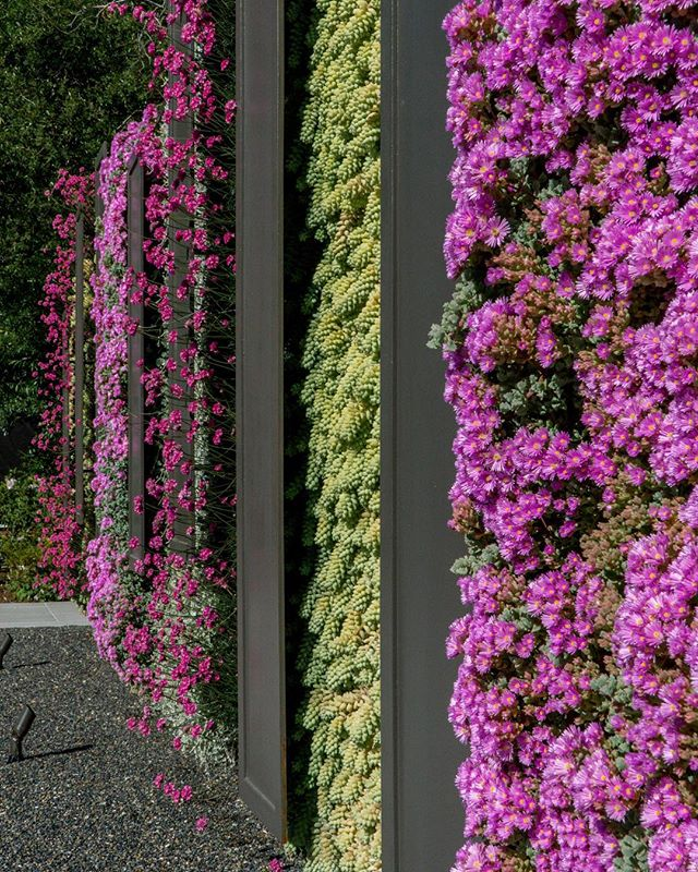 Green wall up close in full bloom.  #greenwall  #verticalgarden #plants #flowers #color #garden #oscularia #ameria #burrostail @tflandscapes @sideburnedhero
