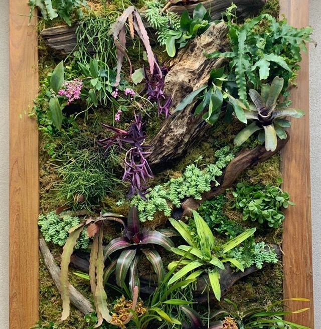 Vertical garden / mounting hybrid system with beach driftwood in an ipe frame.  This is my DYI system, more organic large pieces of wood make ledges and the plant material consist of plants that can be mounted like #staghornfern #orchidcactus #orchids #bromeliad #succulents #ficus #epiphyllum  #greenwall #verticalgarden #plants #wallgarden #driftwood #california