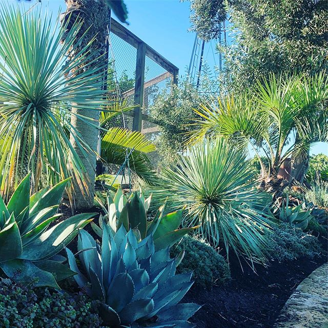 In the palm garden in Escalon.  #yuccarostrata #agave #succulents #butiacapitata #jubaeachilensis #calamataolives #palm