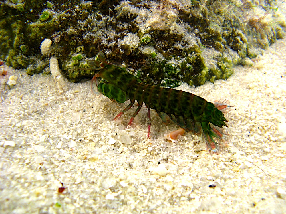Mantis Shrimp Photo.jpg