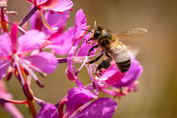 A honey bee at work in South Greenland.jpg