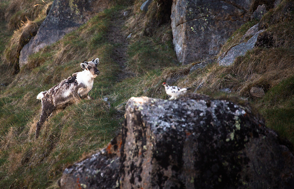 Typical wildlife in the Arctic Circle region outside Kangerlussuaq includes wild reindeer and ptarmigan.jpg
