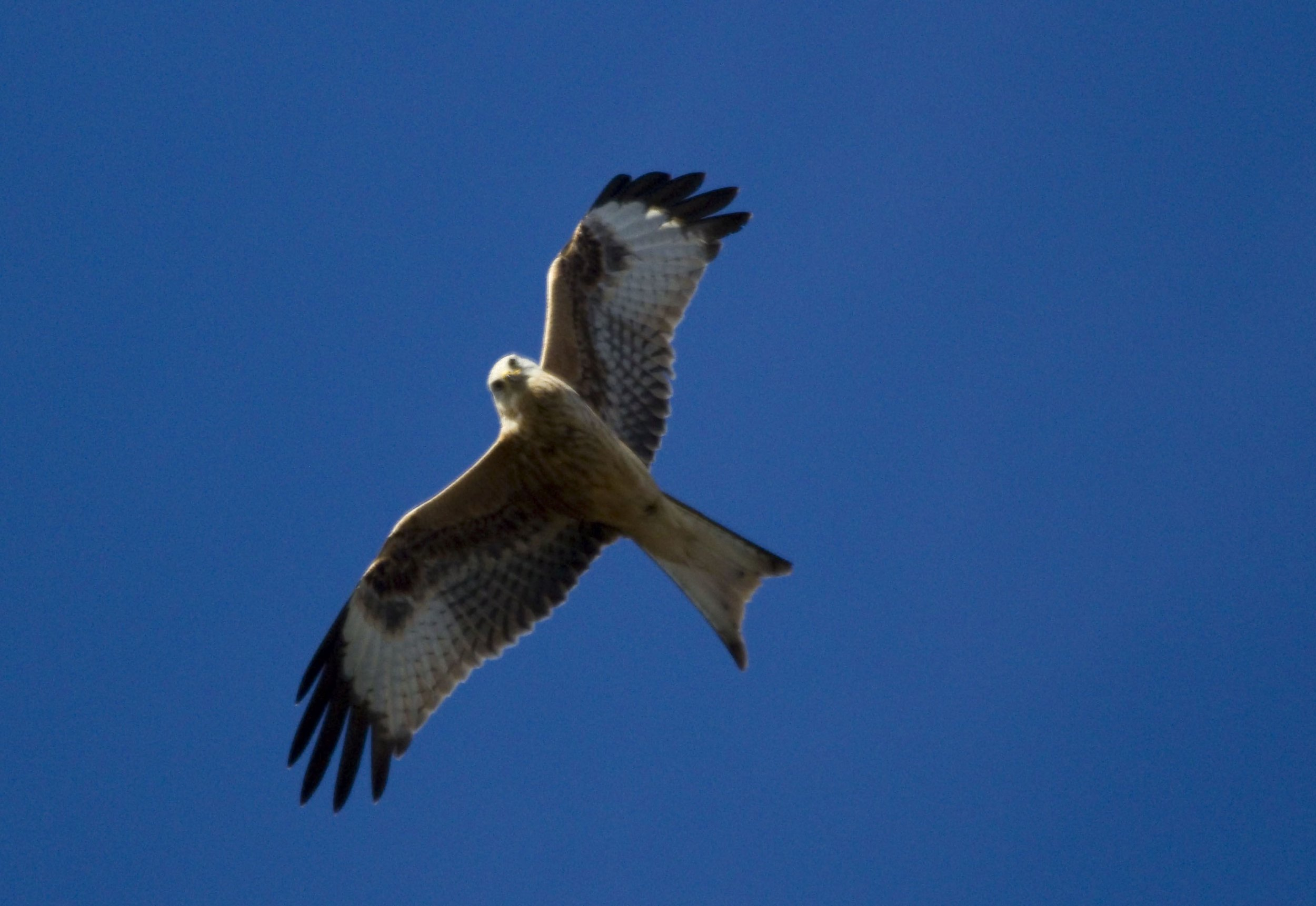 Red Kite on the farm at BSA -