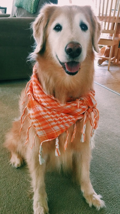 Baboon's Top Ten Golden Rules for Making the Most of Thanksgiving Gatherings www.BrentNaughton.com/pets #pets #dogs #topten #Thanksgiving #goldenretriever #golden #accesoriize #foodholiday