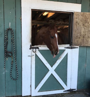 Milo while he was on paddock rest. The stalls have bars so he can touch and see the other horses.