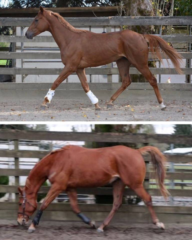My current OTTB, Archie's transformation from race fit to hunter/jumper fit. Note the change in his stride length and freedom of the shoulder as well as how he drives from the hindend.
