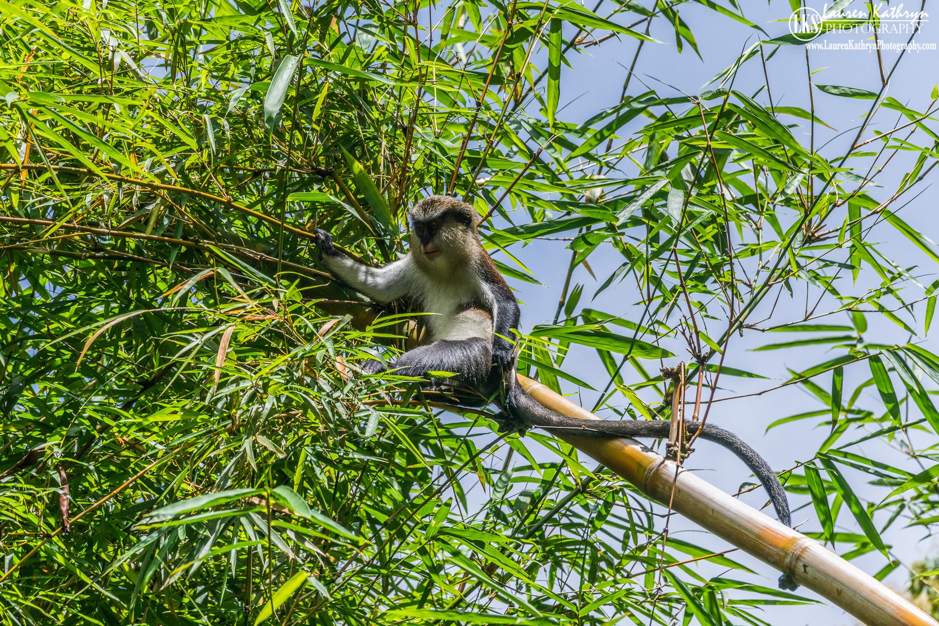 Sitting Monkey - Grenada.jpg