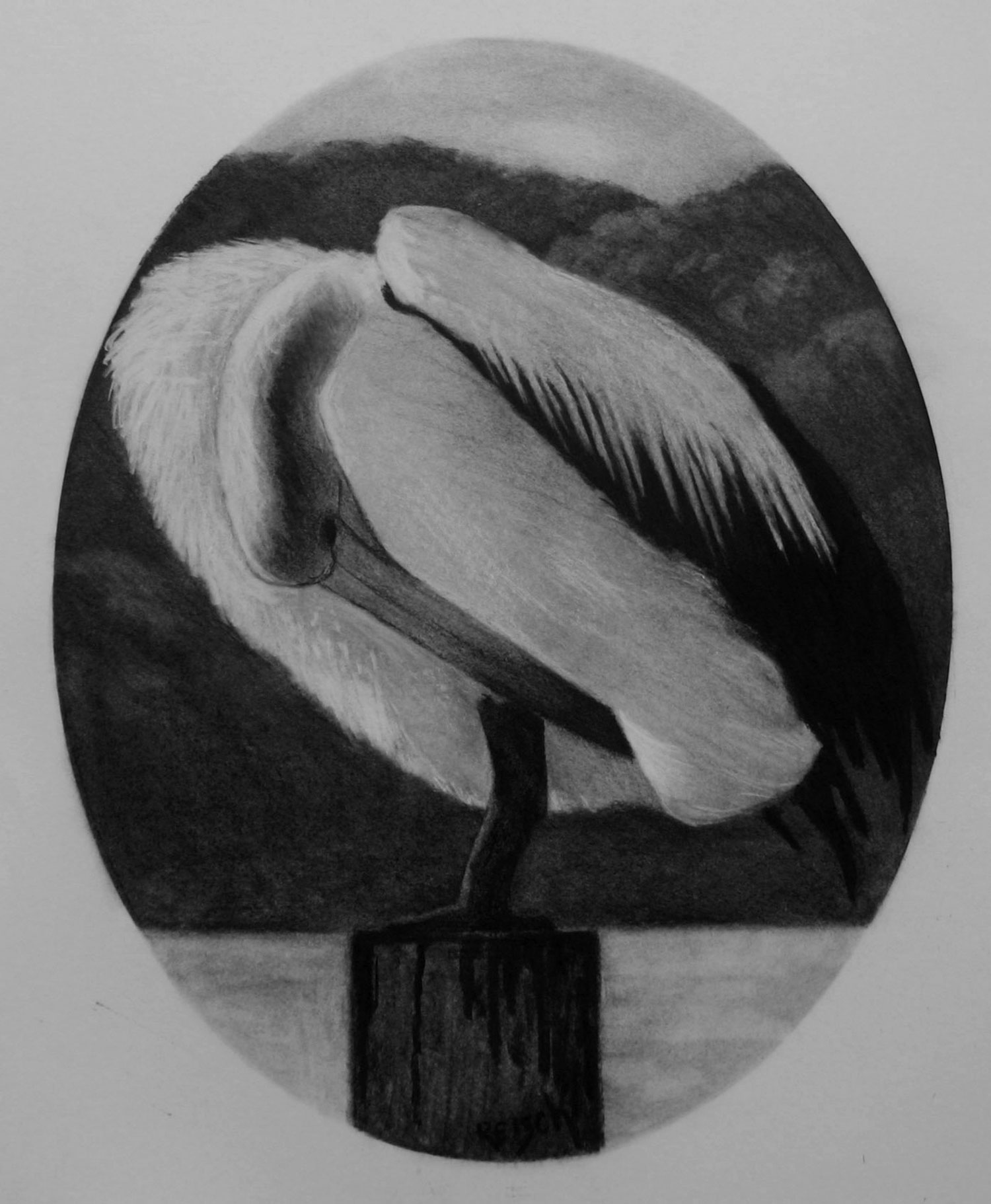 Pelican drawing- 2013--charcoal/paper-50x40cm