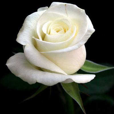 white-roses-1.jpg