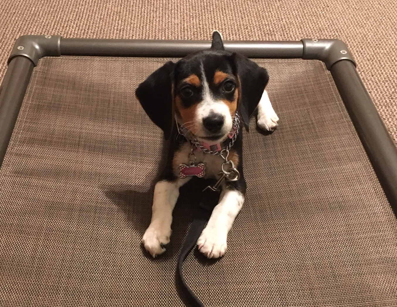Grace - I started my 2.5 month old beagle to Sue in desperate need of help back in April. We were 100% clueless whenever it came to having a puppy. So we decided on Sue's 3 week Stay and Train program. Grace, my beagle, came back and we were super proud of what she had learned. She's now doing great with crate training, doing MUCH better with potty training, waits to get out of her crate when we open it, she waits to be fed we make her sit and wait until we command her to eat, she's also still doing well with her place… Sue is still taking Grace in and boarding her as we travel and works with her while we're gone and Grace is with her. We're happy with this choice we chose for Grace. She's a great dog and can't wait to see how she progresses the next few months. Thanks Sue for your help in our time of need and thanks for guiding us in the right direction 🙏Trish Hickman, San Marcos, TX
