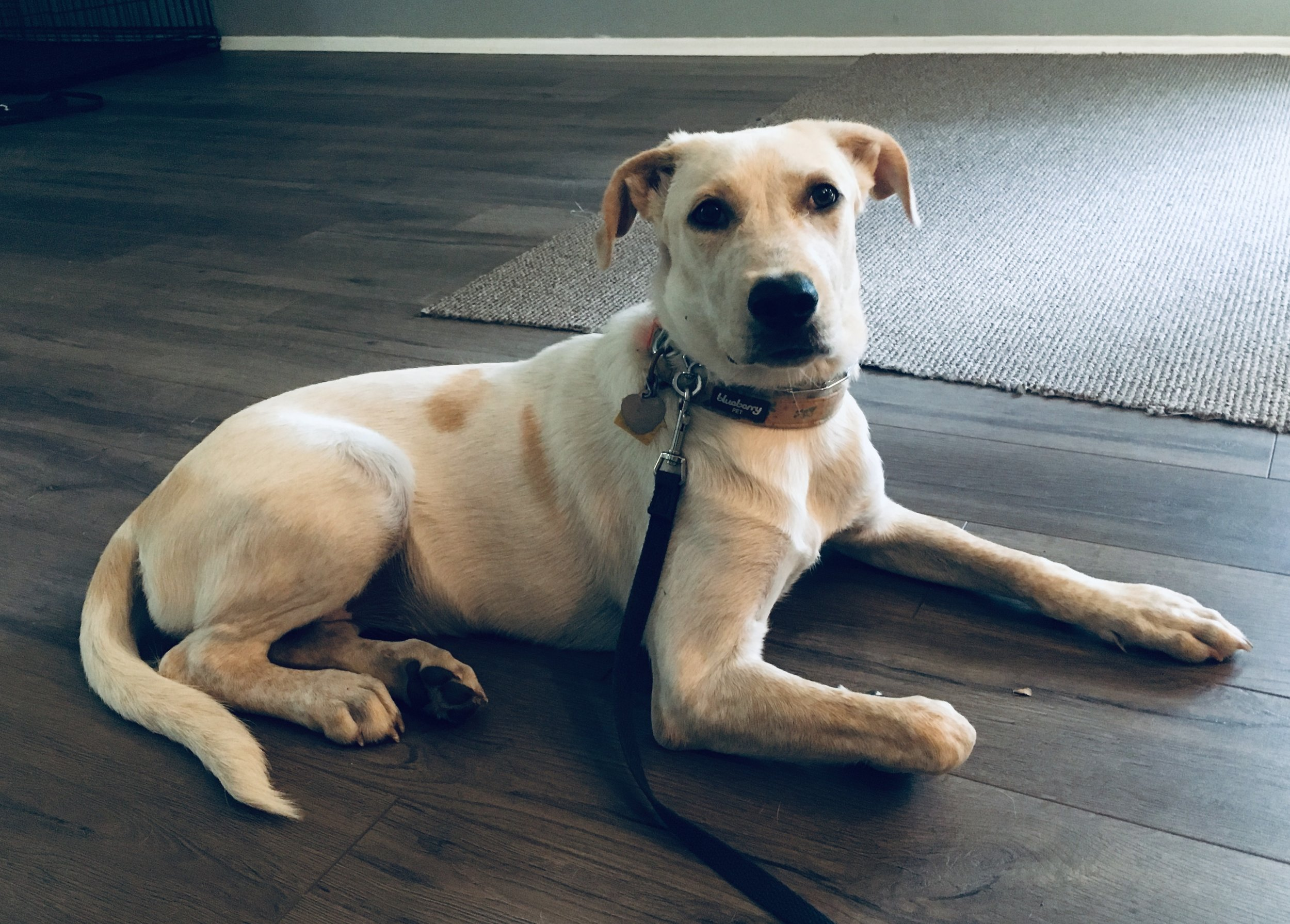 Koda - I have a 6 month old lab mix who was way out of control. As a student, I needed her to be calm around the house so I could do my school work. Sue was a life saver! I can now work, cook, or clean while Koda focuses on her job. Our life has been brought back to order!Cristal Leon, San Marcos, TX