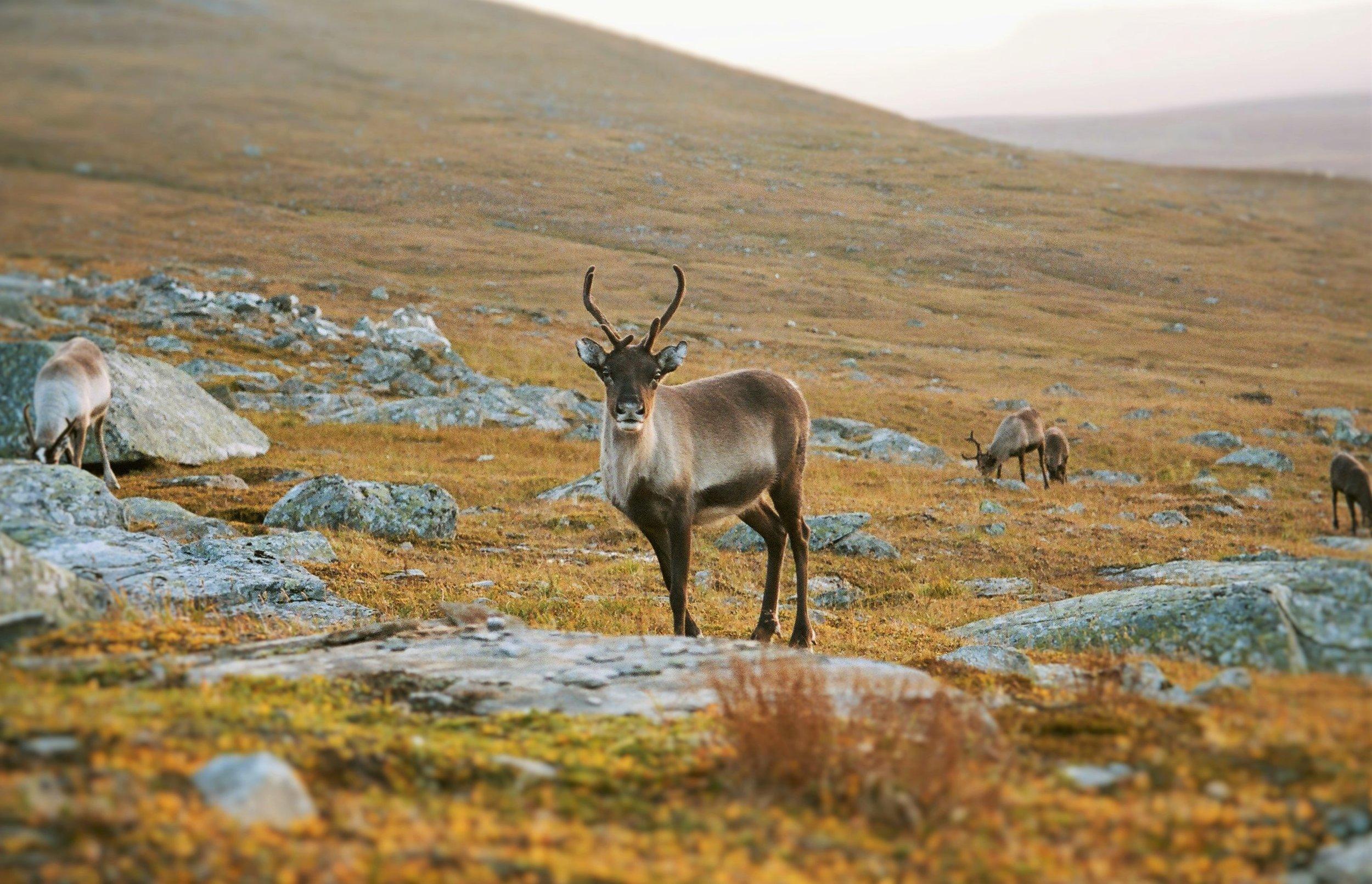 Reindeer, Arctic Sweden