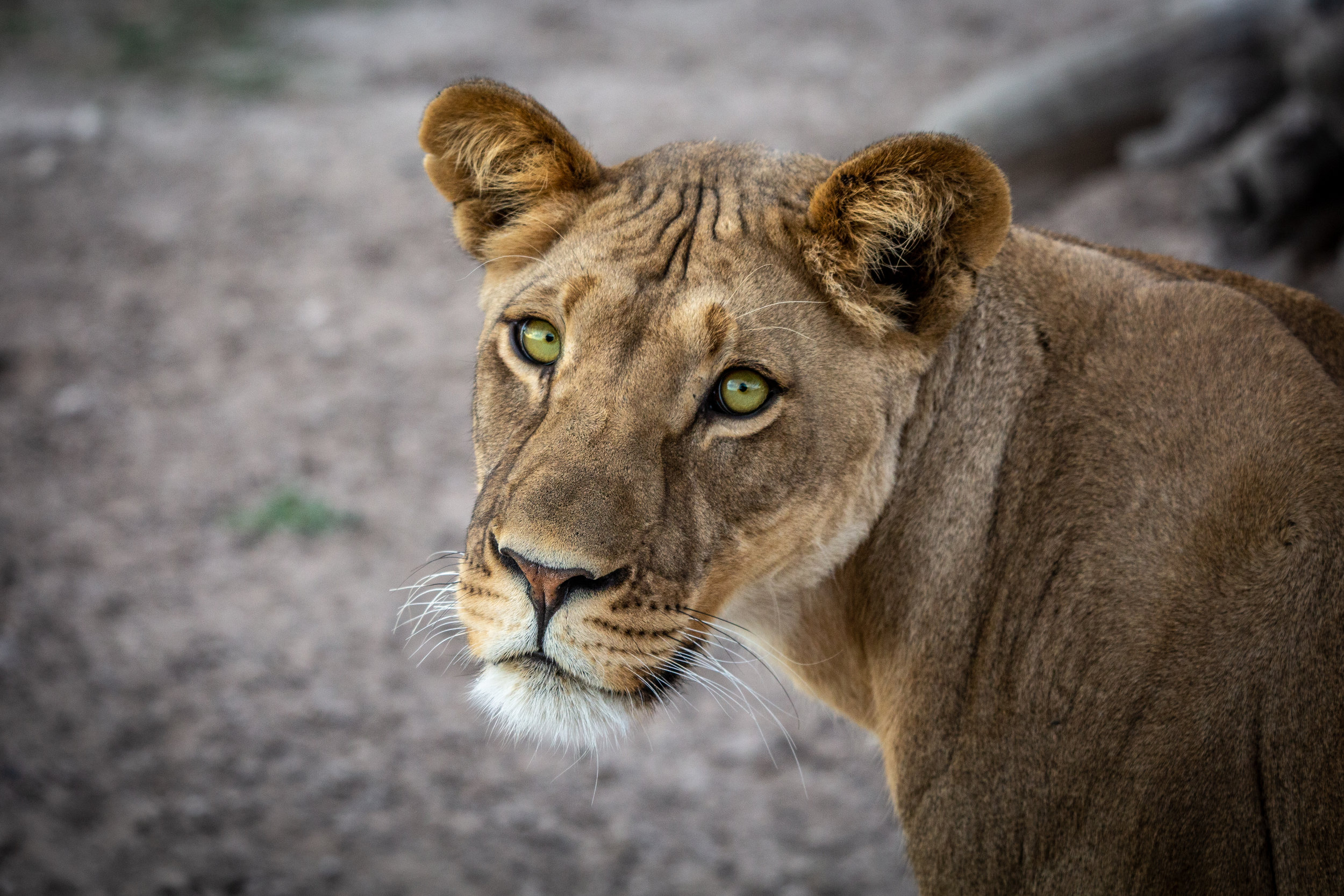 Lioness in Botswana. In partnership with  Ker & Downey, Botswana