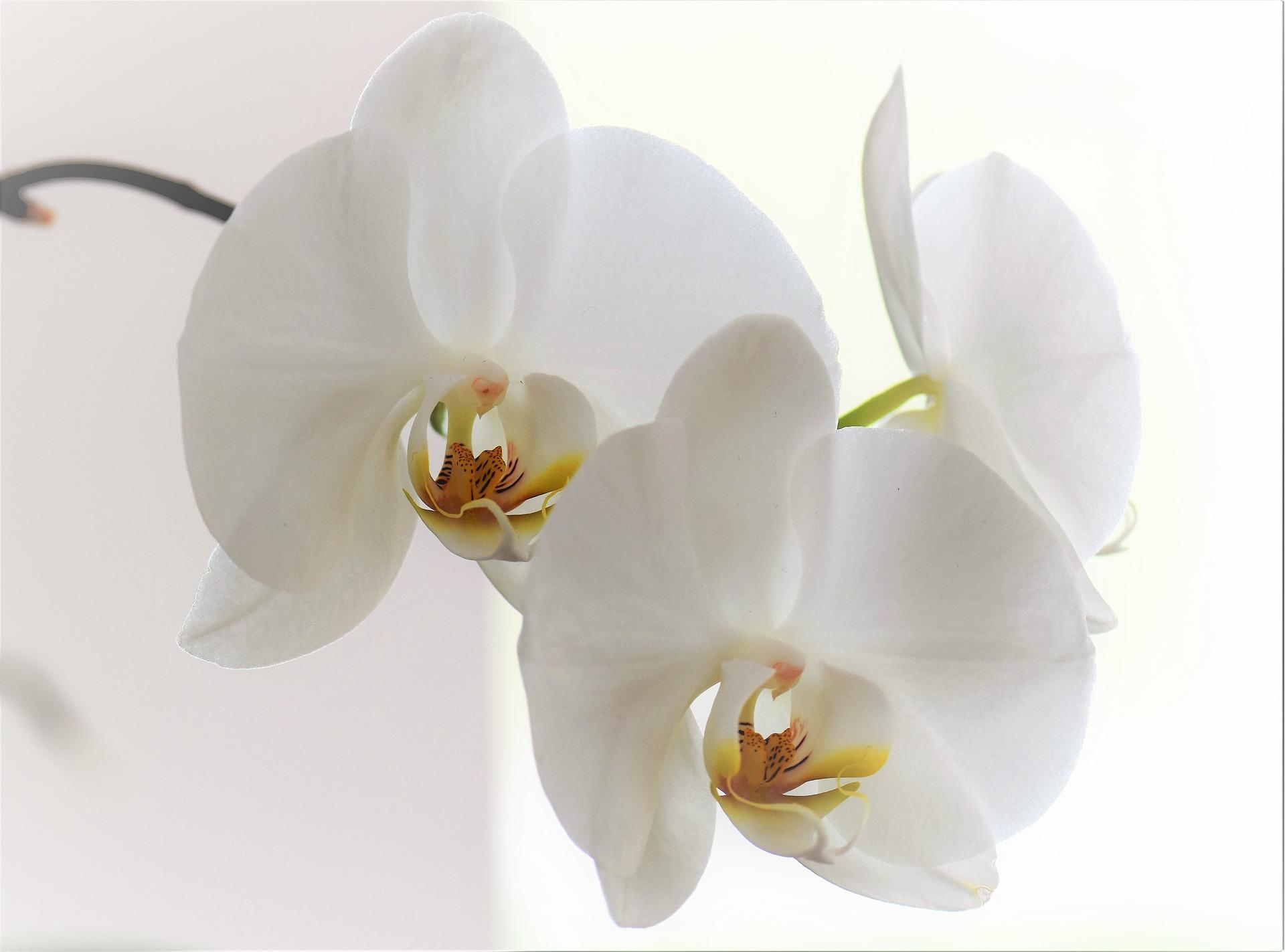 orchid-2097369_1920.jpg