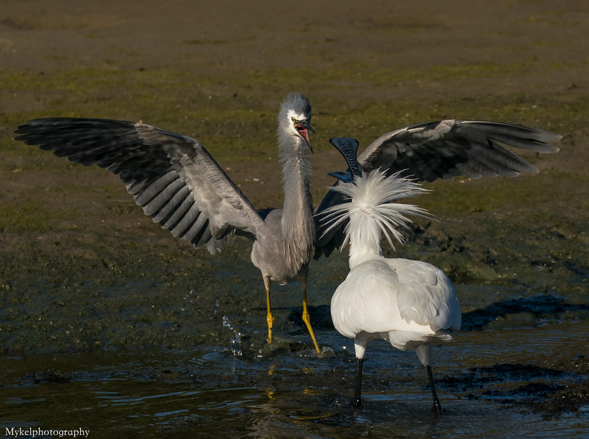 A Royal Spoonbill and White Faced Heron having a despute over fishing area's