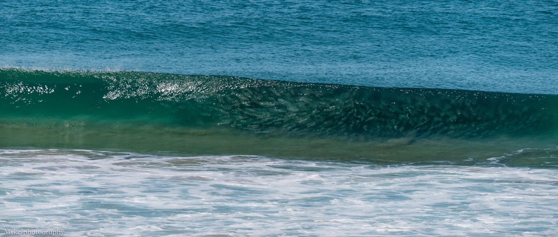 Australian Salmon within metres of the beach all day...