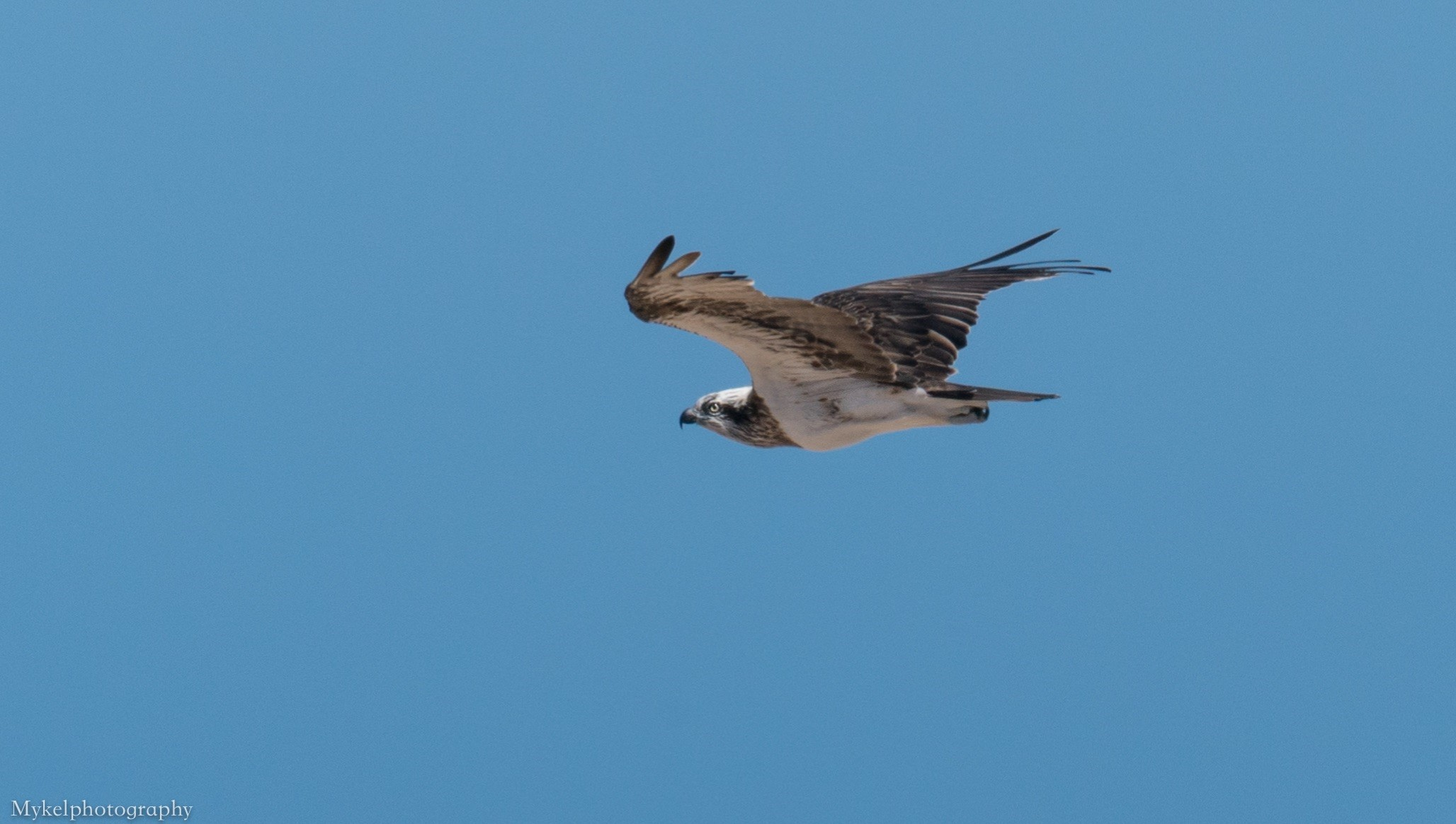 As the Eastern Osprey fly's off into the sky...it's bye for now, but will return....