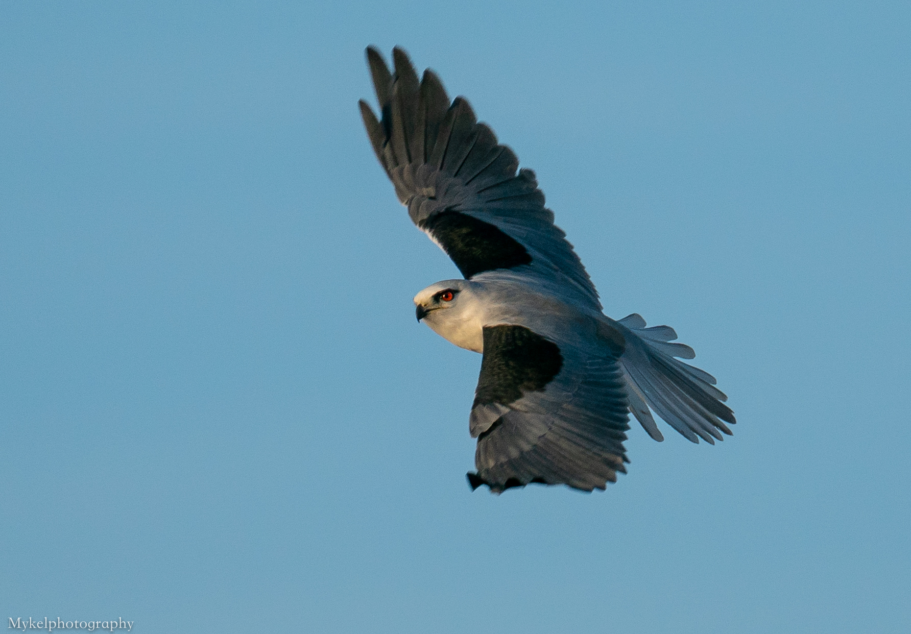 Black-shouldered Kite, Elanus axillaris Accipitridae, you can see how they get their name in this one