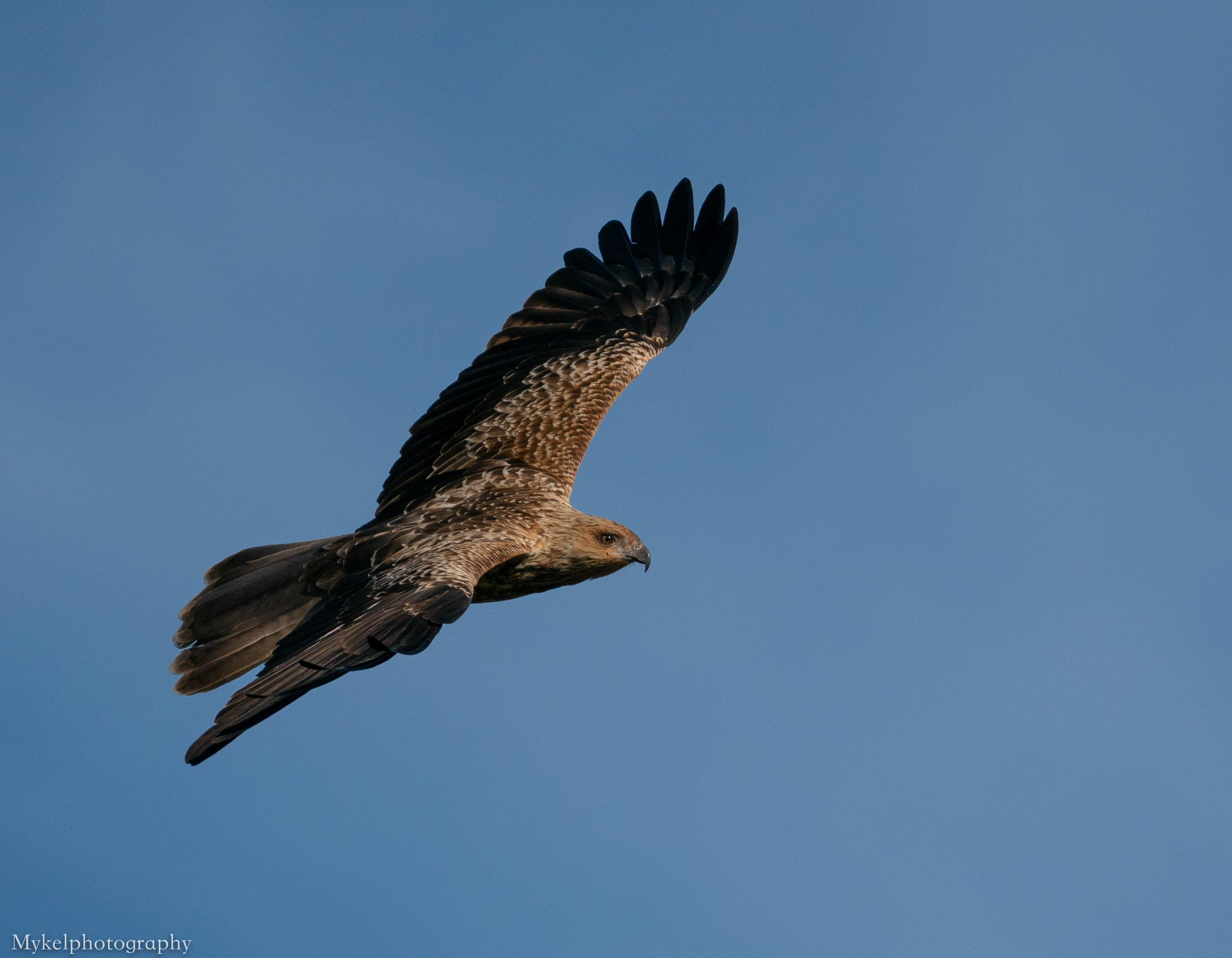 Whistling Kite, Haliastur sphenurus, Accipitridae