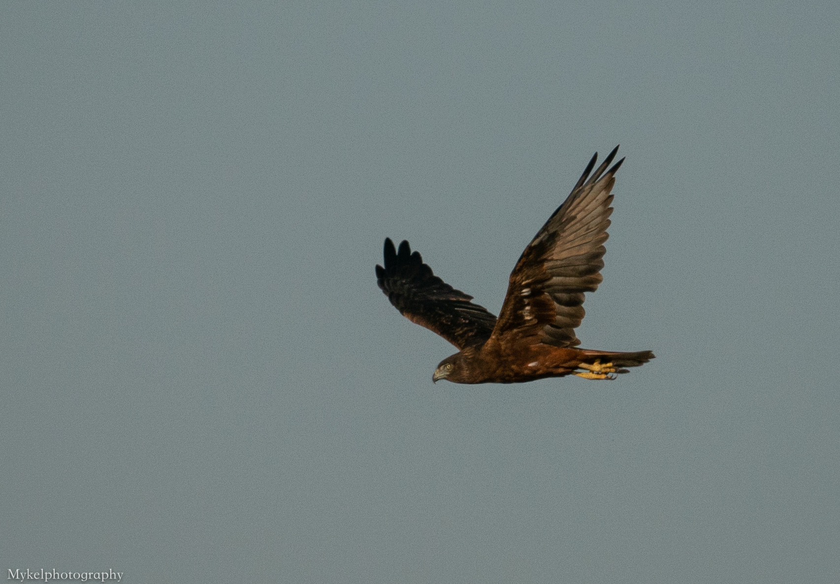 Swamp Harrier, Circus approximans, Accipitridae