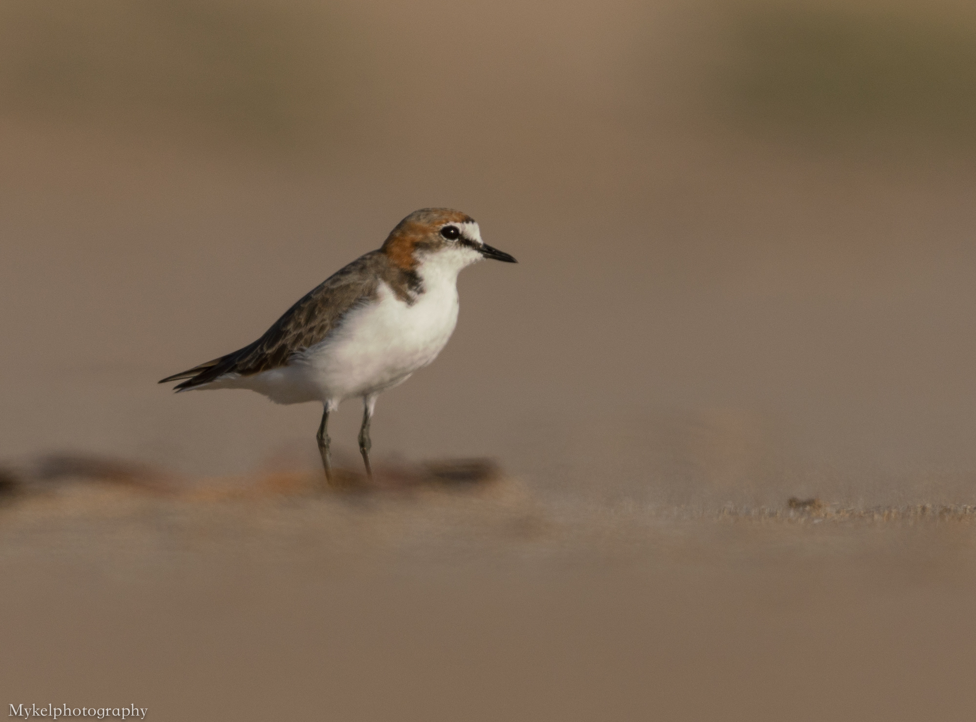 Red-capped Plover, Charadrius ruficapillus Charadriida