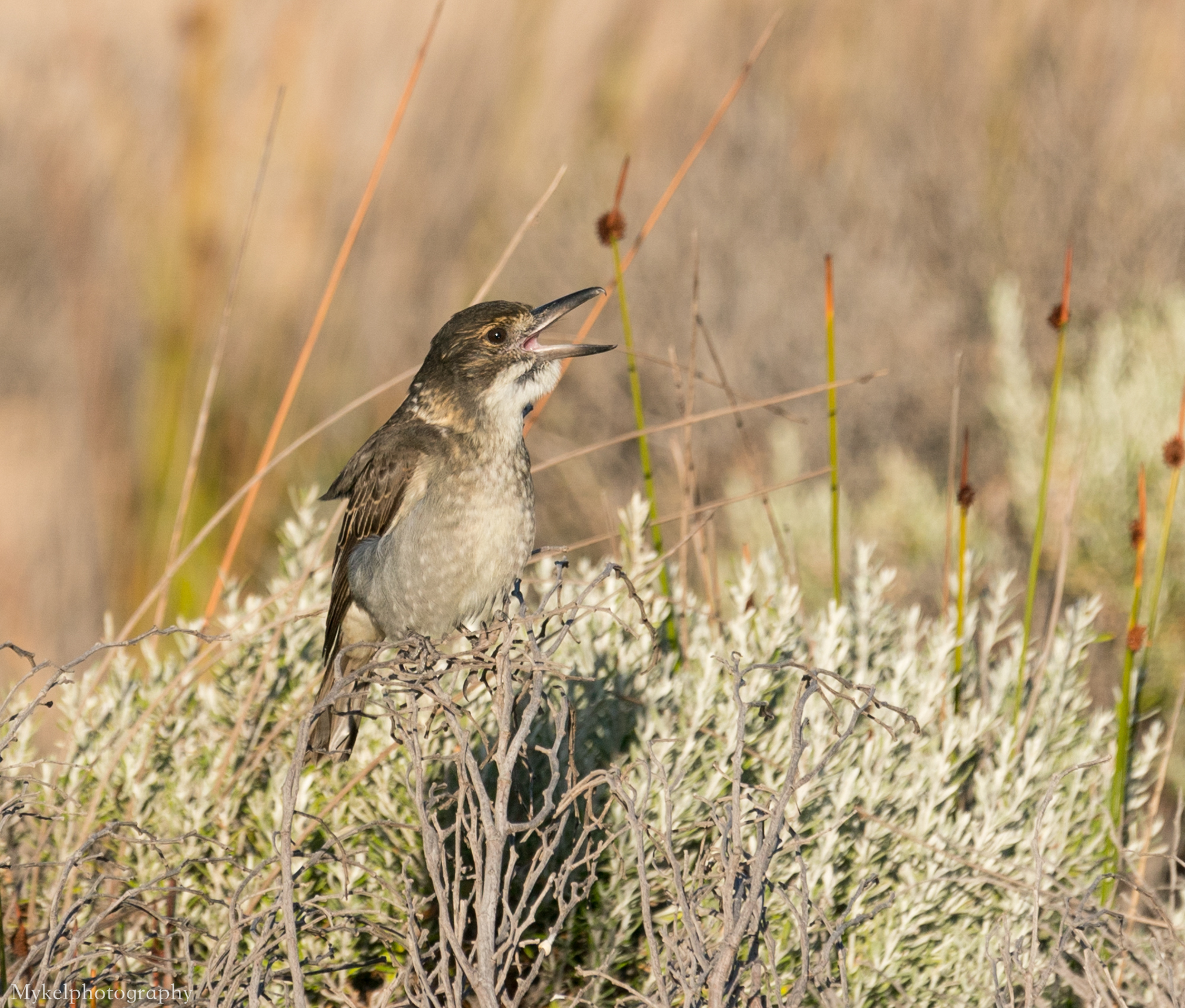 Grey Butcherbird, Cracticus torquatus Artamidae