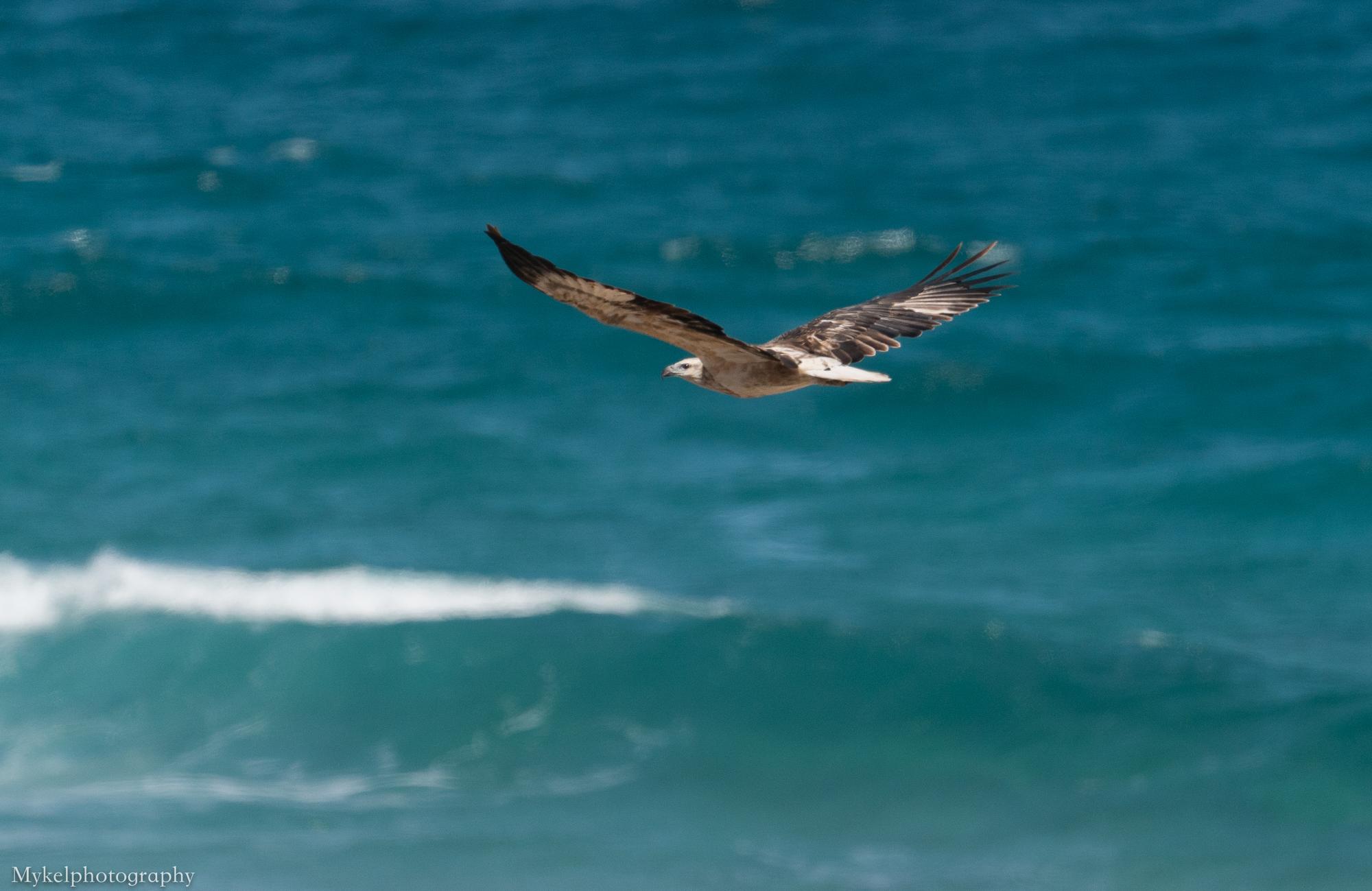 Wedge-tailed Eagle, Aquila audax Accipitridae