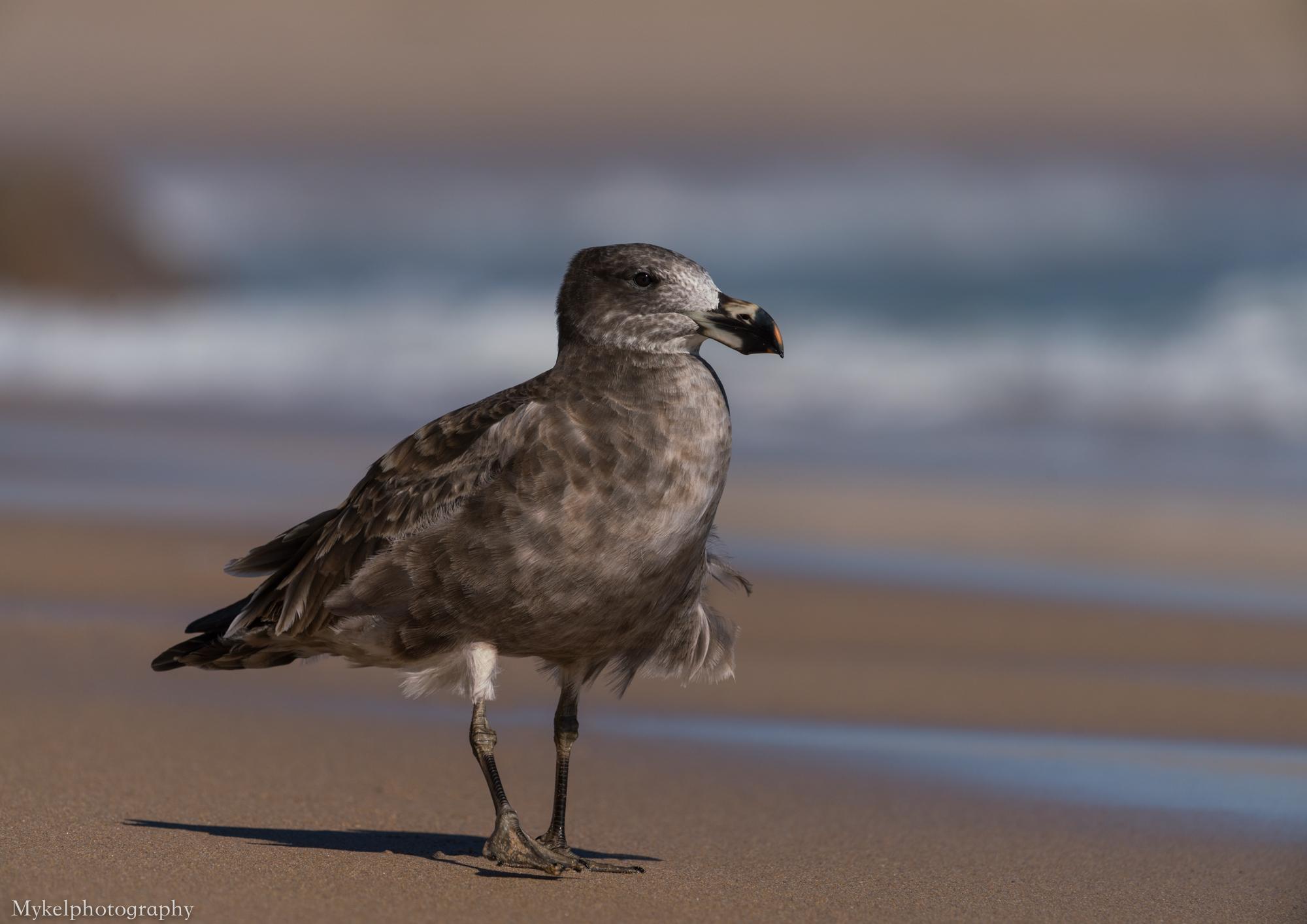 Pacific Gull, Larus pacificus Laridae