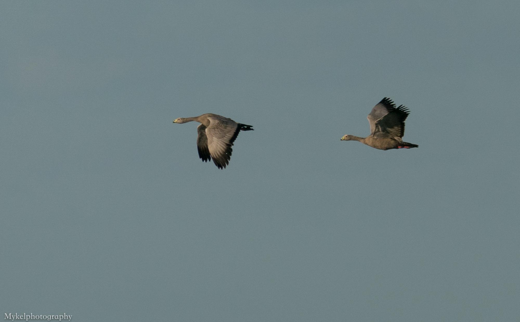 Cape Barren Goose, Cereopsis novaehollandiae Anatidae
