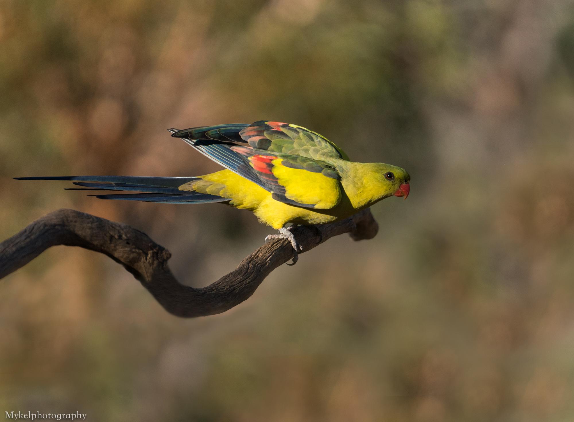 Regent Parrot Polytelis anthopeplus Psittacidae