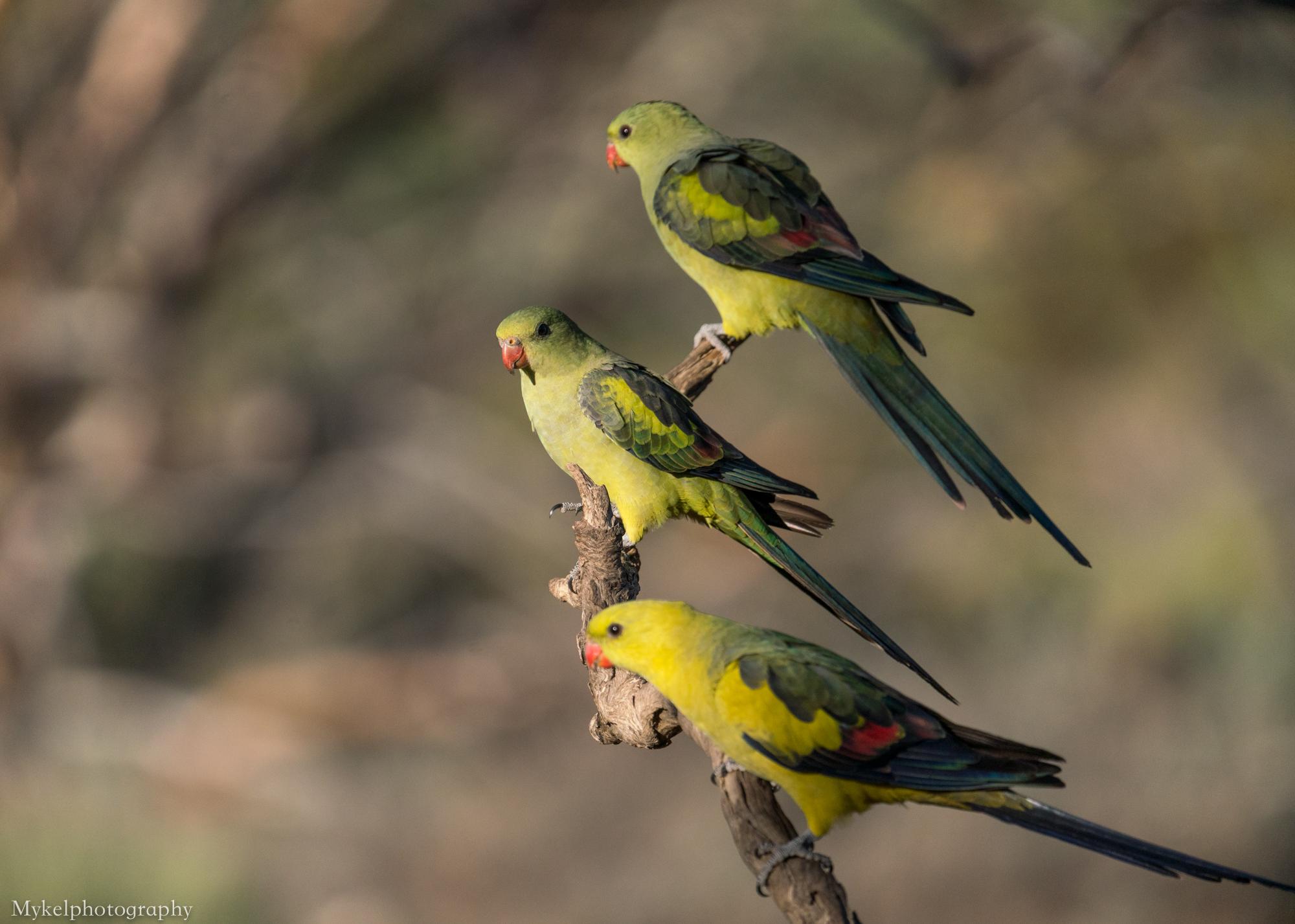 Regent Parrot, Polytelis anthopeplus Psittacidae
