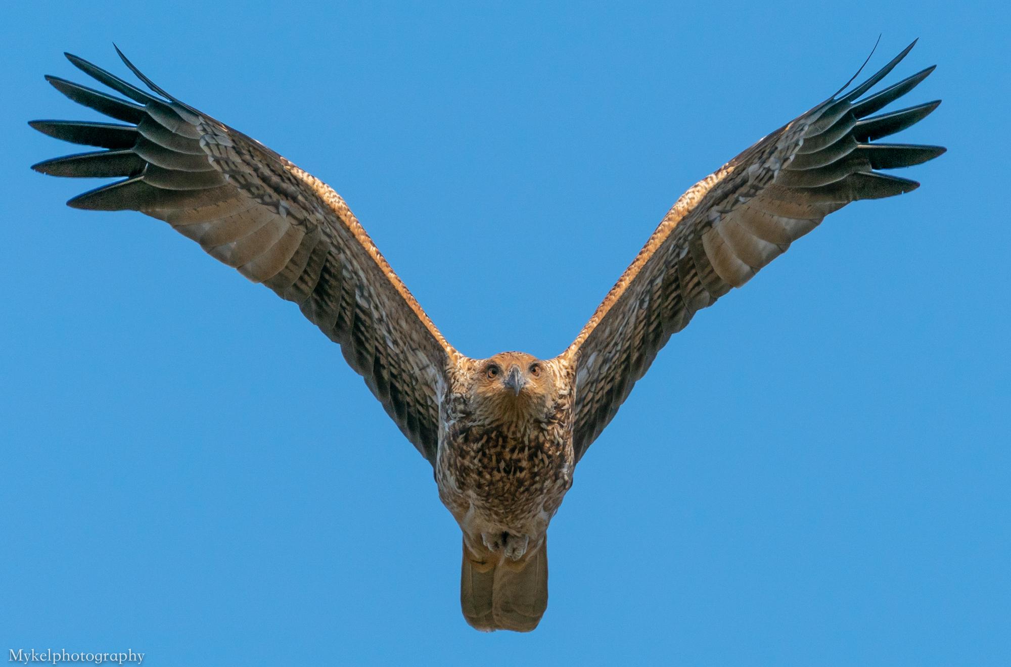 Whistling Kite, Haliastur sphenurus Accipitridae