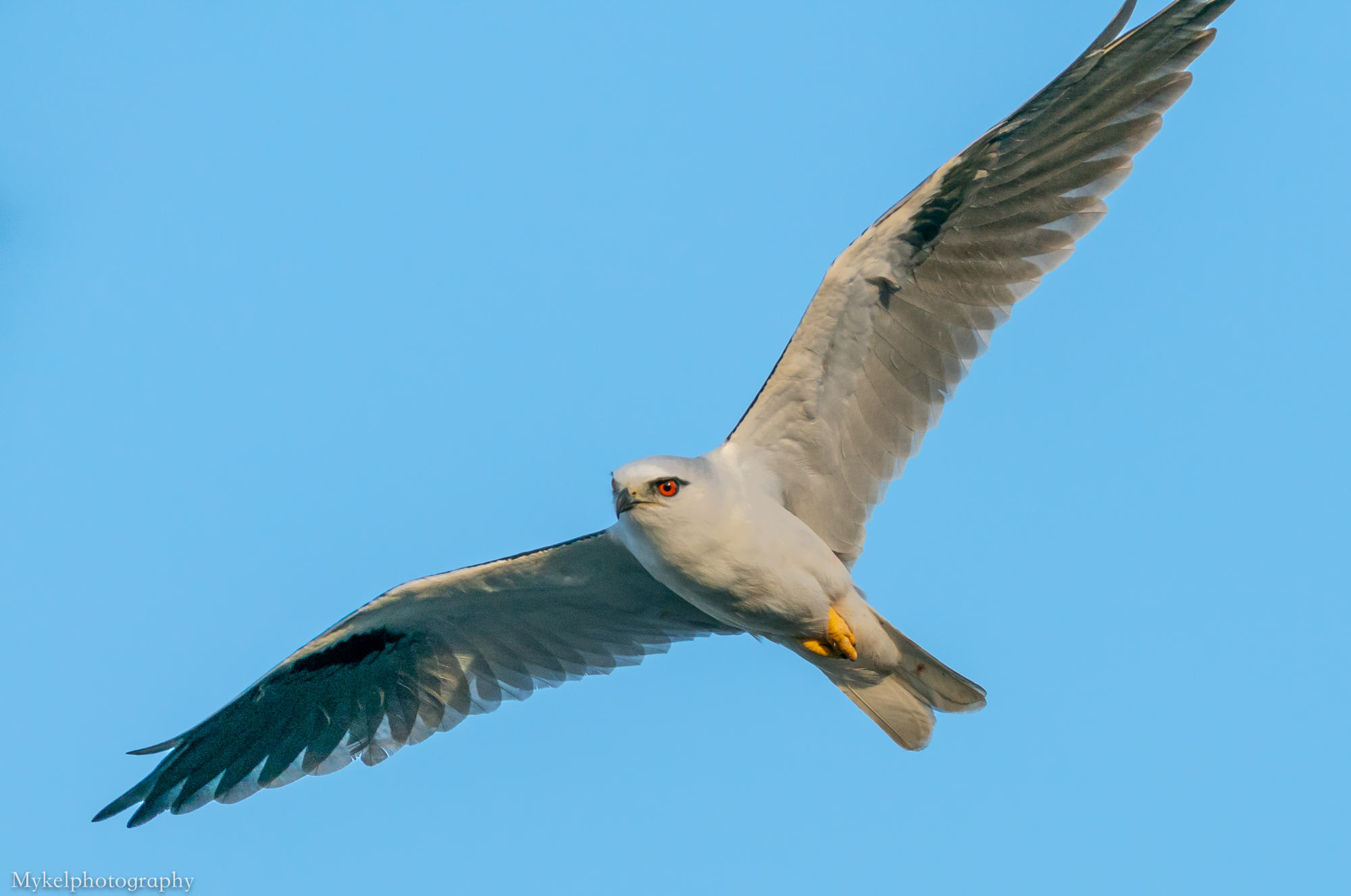 Black-shouldered Kite, Elanus axillaris Accipitridae