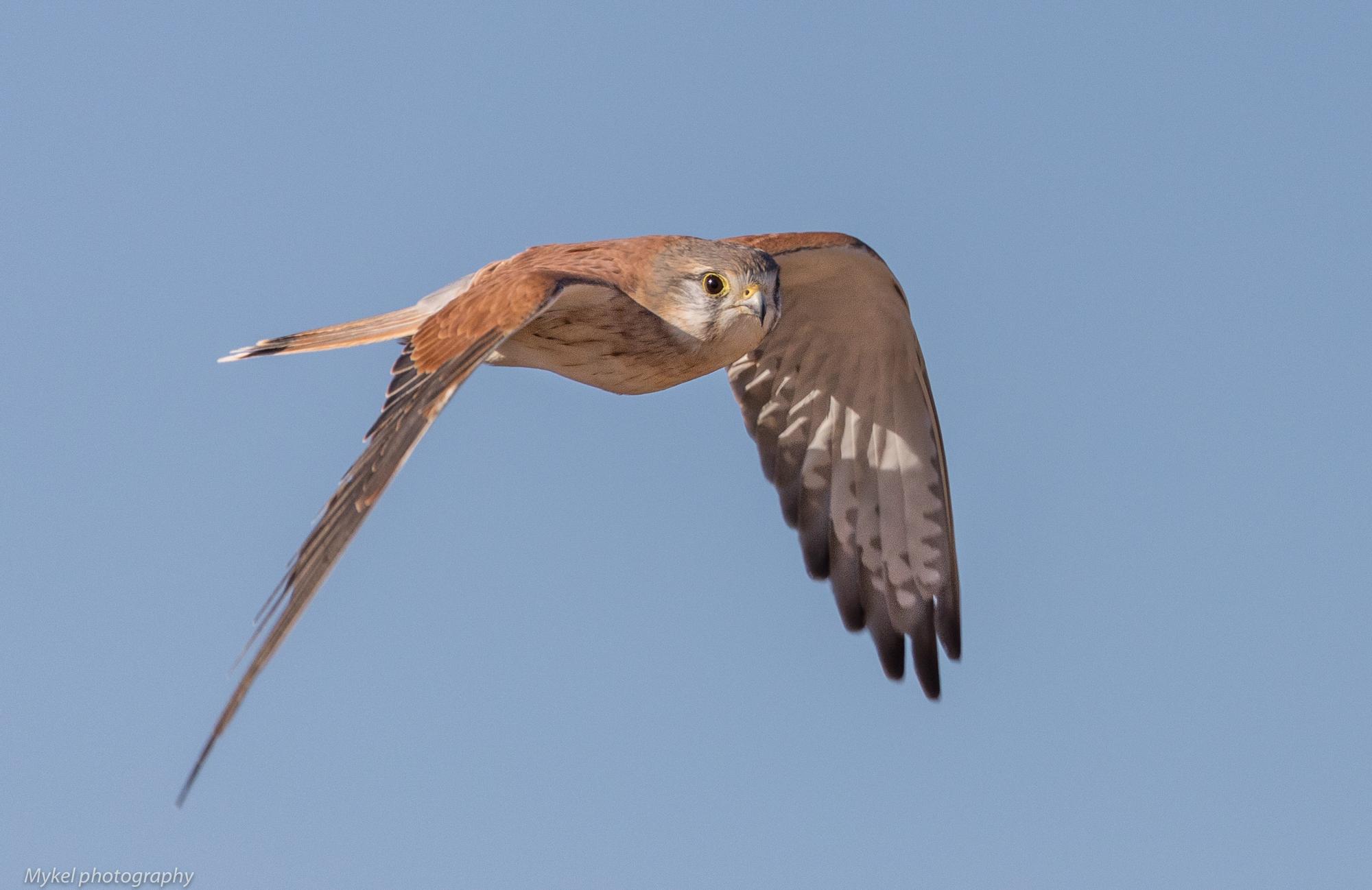 Nankeen Kestrel, Falco cenchroides Falconidae