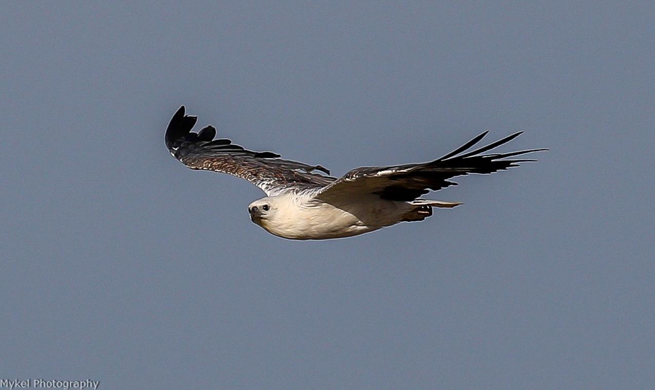 White-bellied Sea-Eagle, Haliaeetus leucogaster Accipitridae