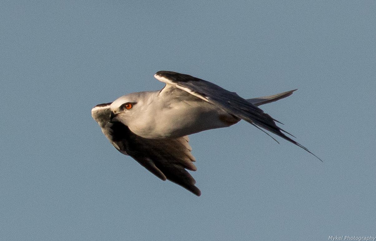 Black-shouldered Kite, Elanus axillaris Accipitridae