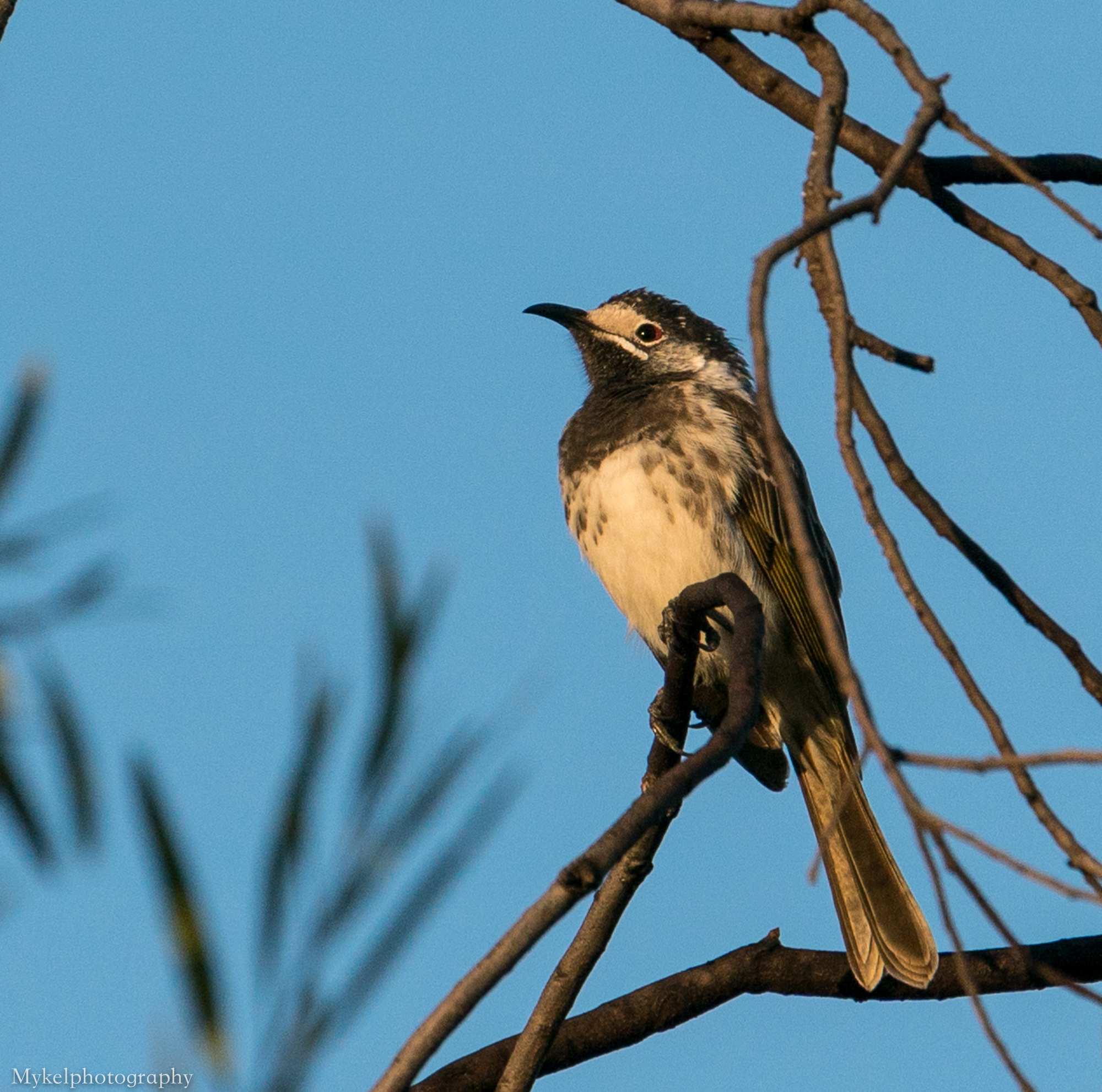 White-fronted Honeyeater, Purnella albifrons