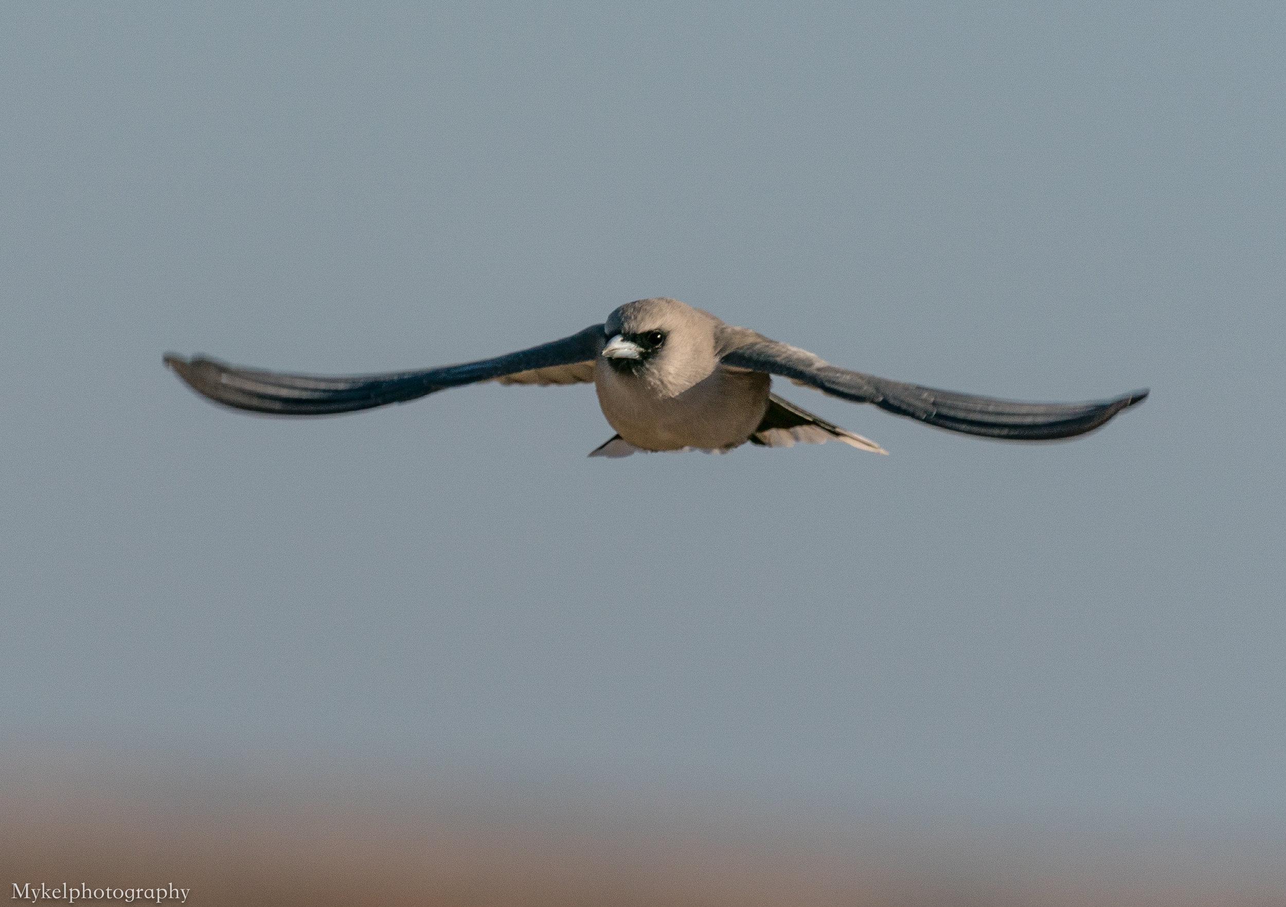 Black-faced Woodswallow, Artamus cinereus Artamidae