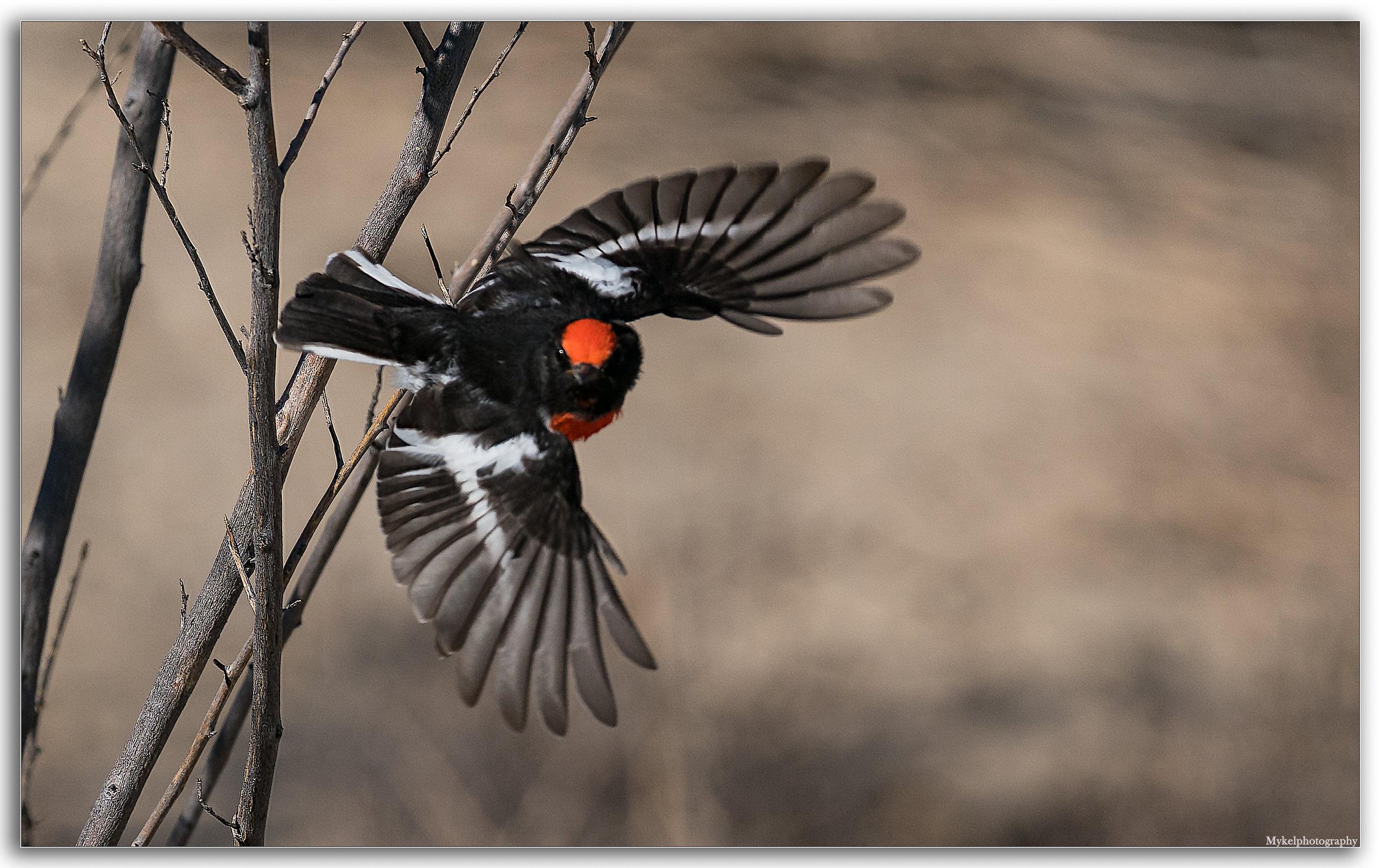 Red-capped Robin, Petroica goodenovii Petroicidae