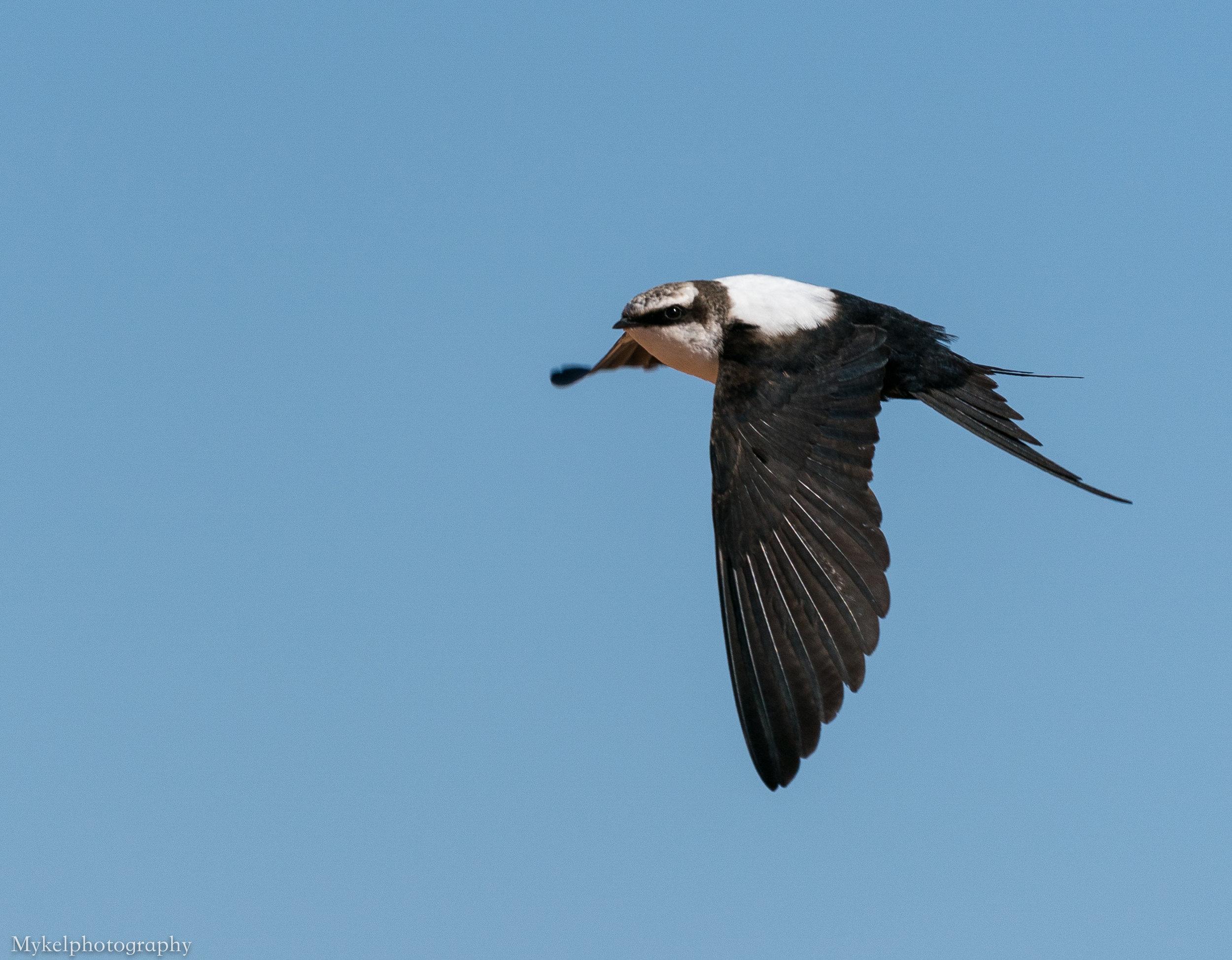 White-backed Swallow, Cheramoeca leucosterna