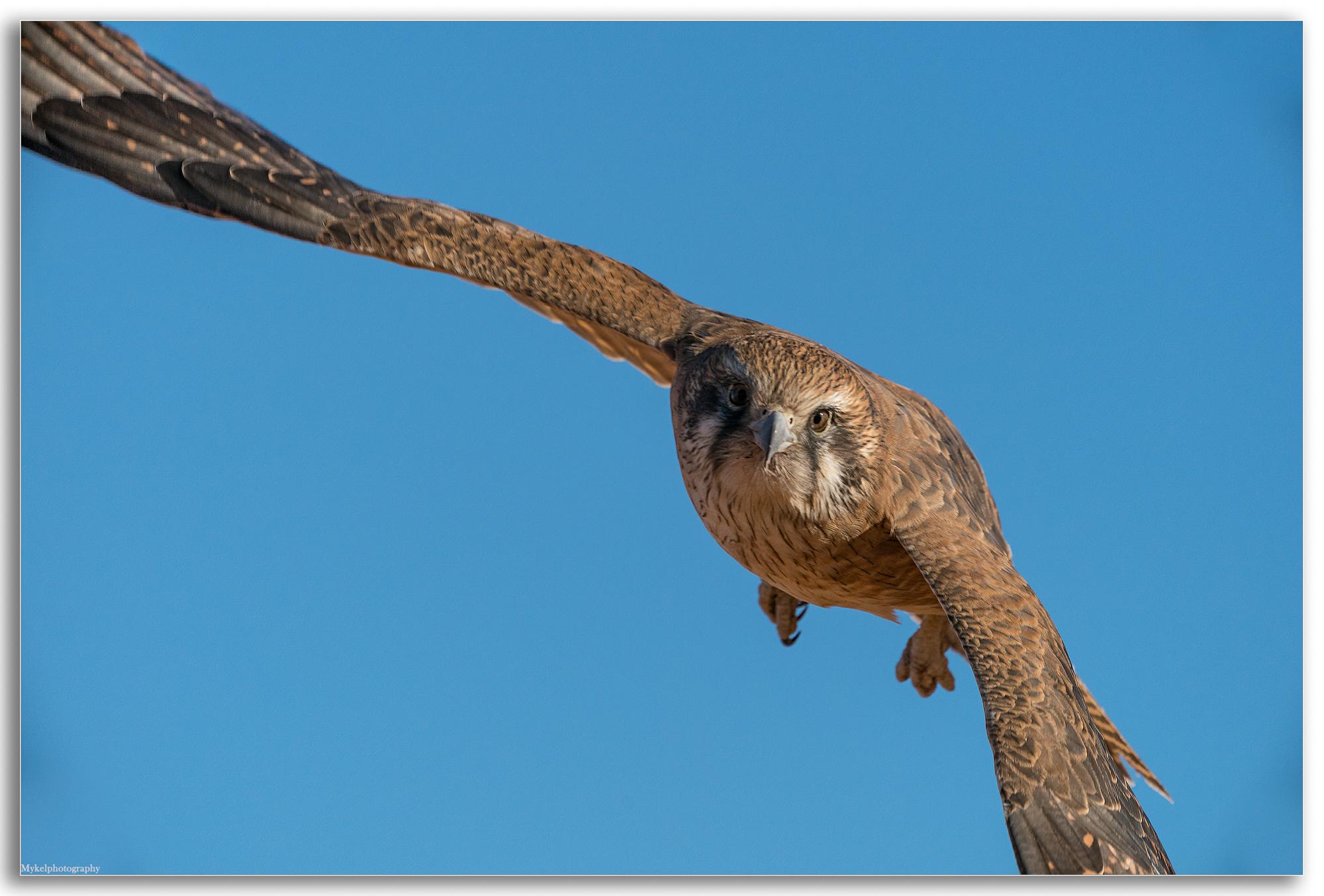 Brown Falcon, Falco berigora Falconidae
