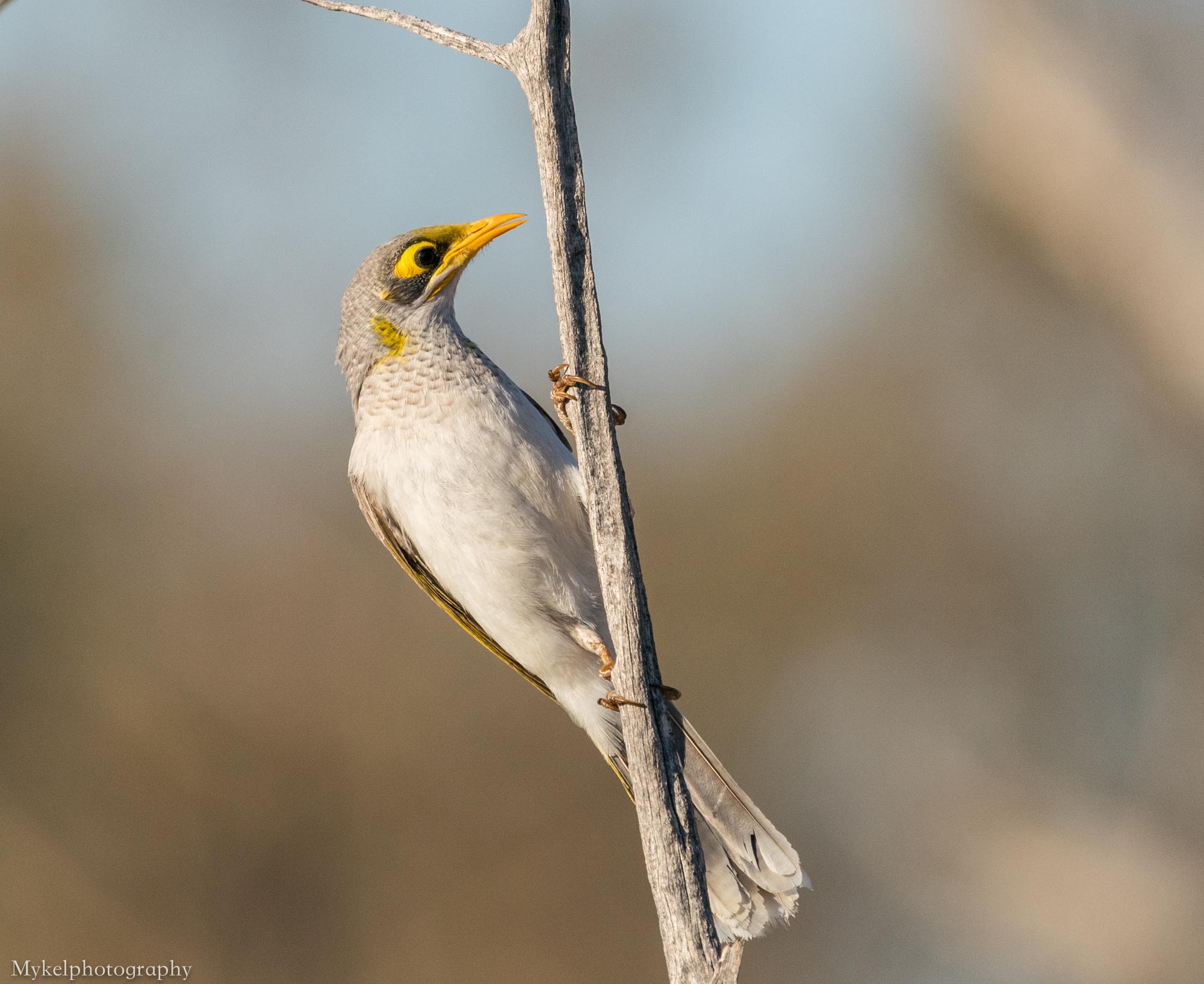 Yellow-throated Miner, Manorina flavigula Meliphagidae