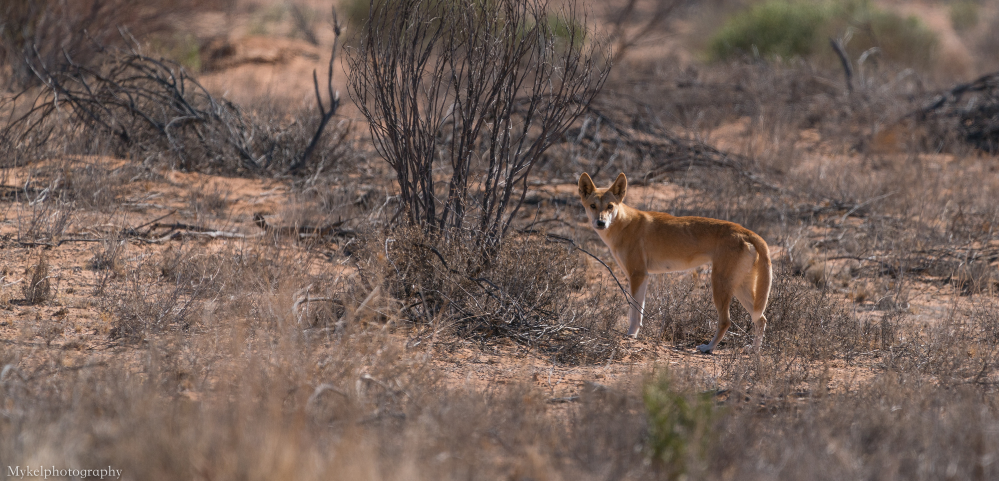 Dingoes are Australia's wild dog. They arrived in Australia about 5,000 years ago - brought to Australian shores by Indonesian Seafarers. Dingoes do not bark, but howl like wolves.