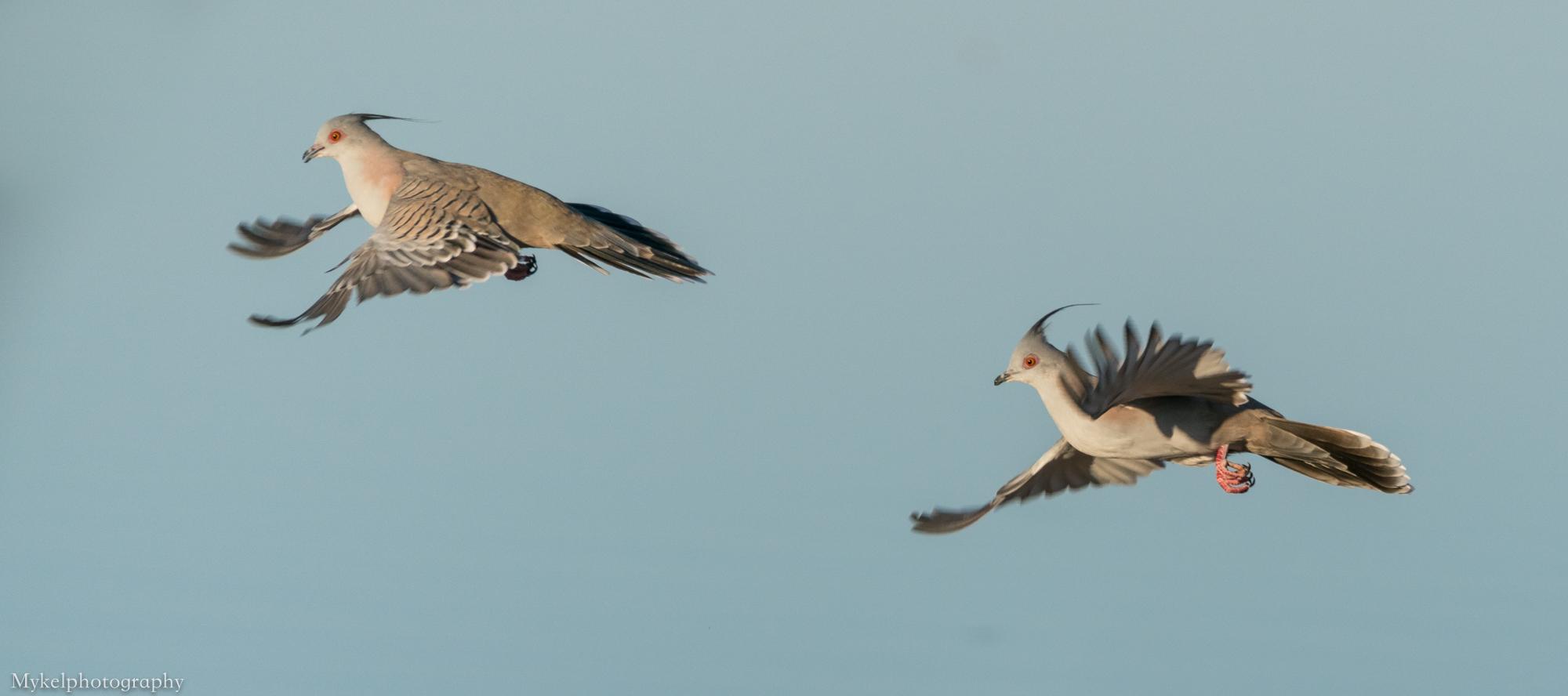 Crested Pigeon's, Ocyphaps lophotes Columbidae