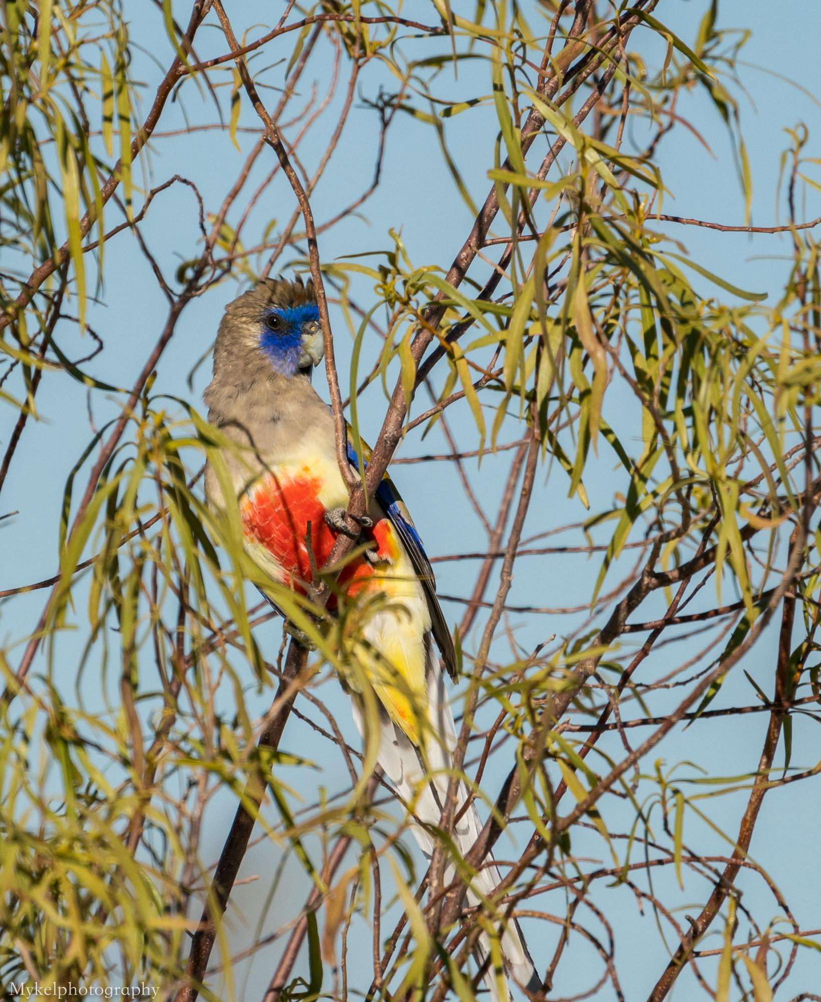 Blue Bonnet Parrot