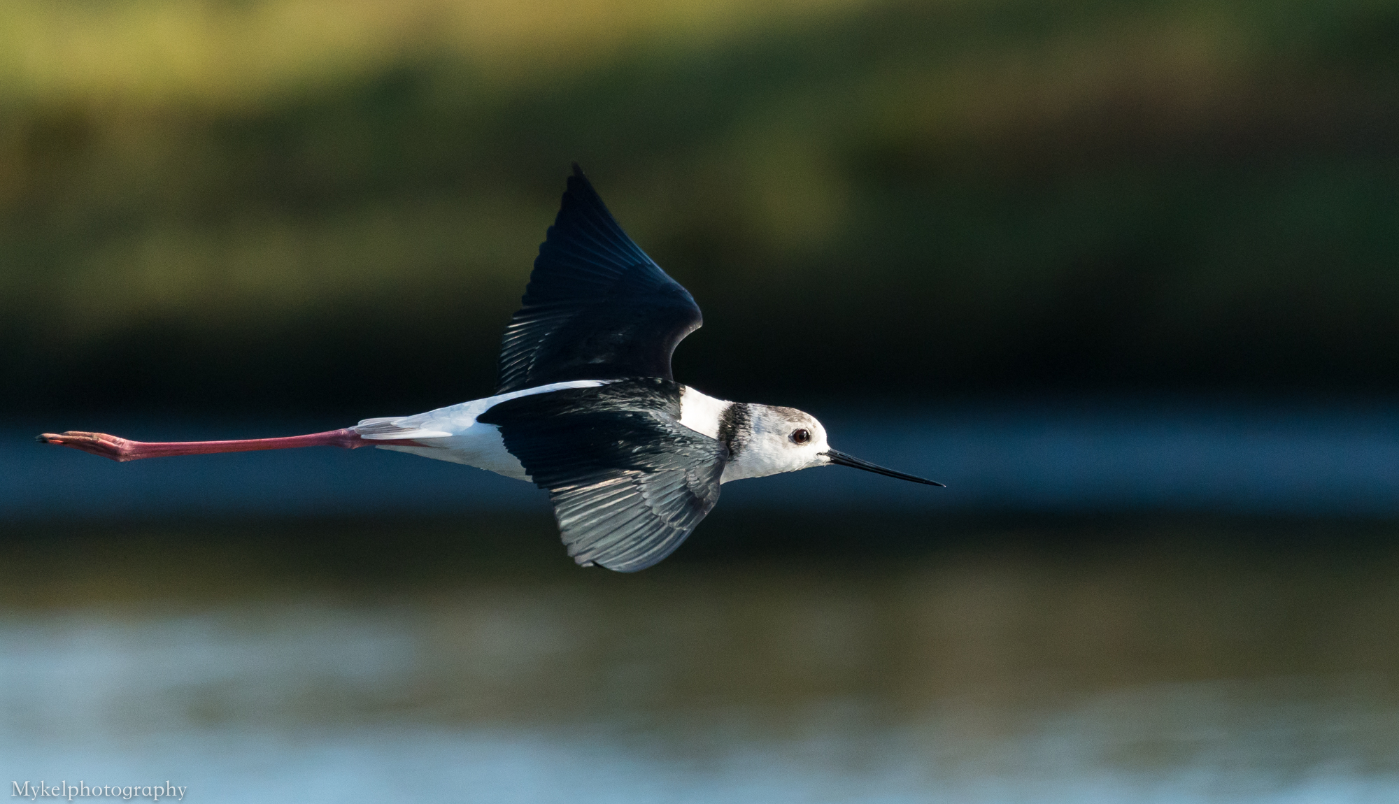 Black-winged Stilt, Himantopus himantopus Recurvirostridae