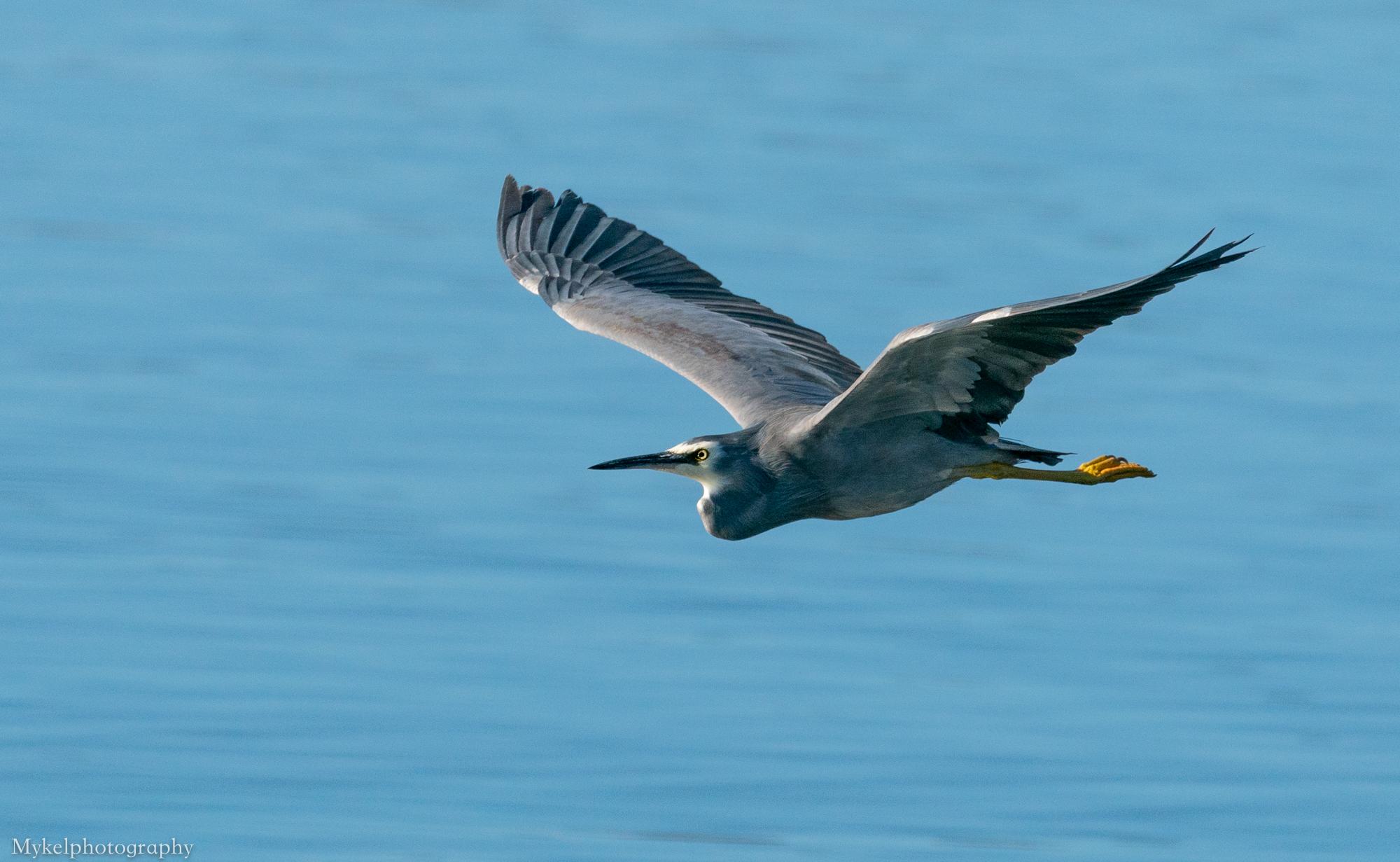 White-faced Heron, Egretta novaehollandiae Ardeidae