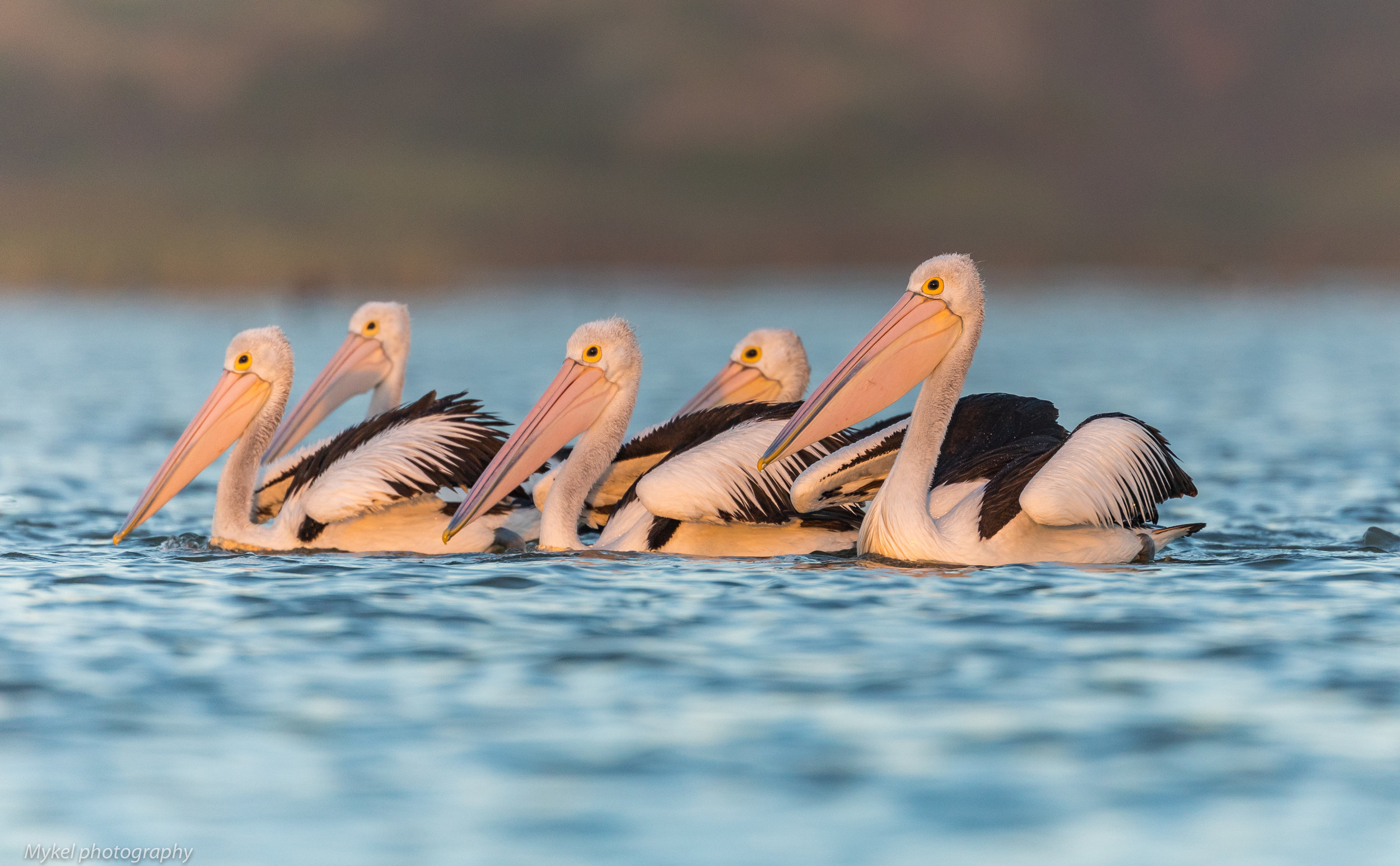 It just would not be a morning down the Coorong with out the Pelicans....