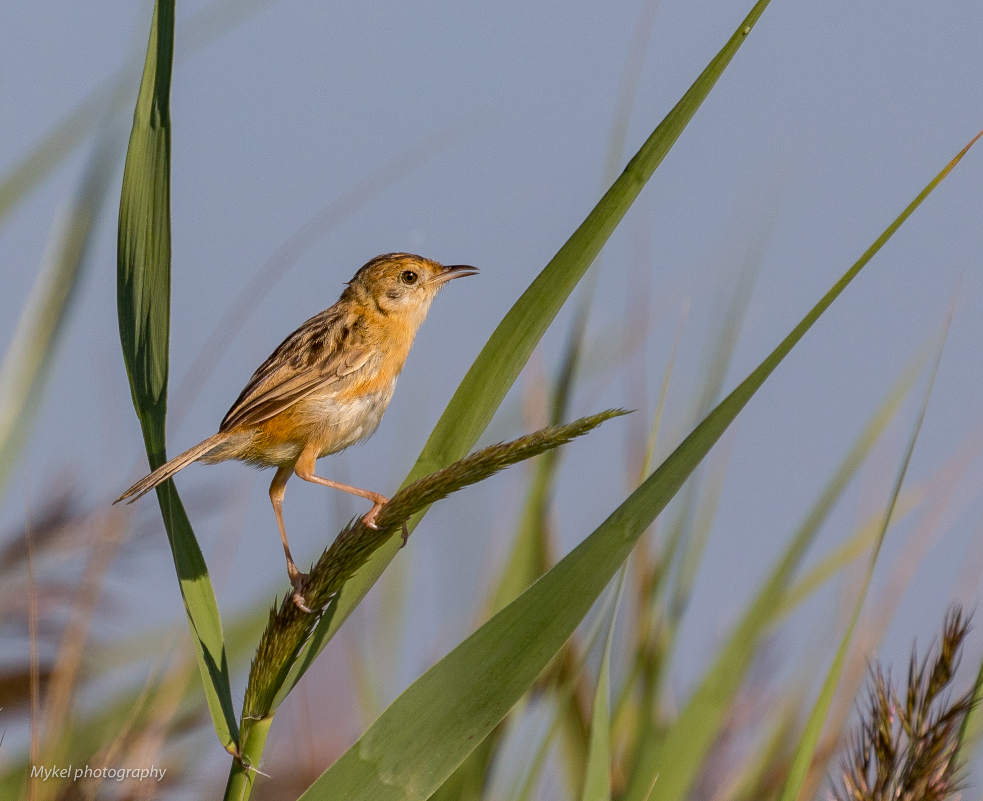 The morning songster, the Golden-headed Cisticola