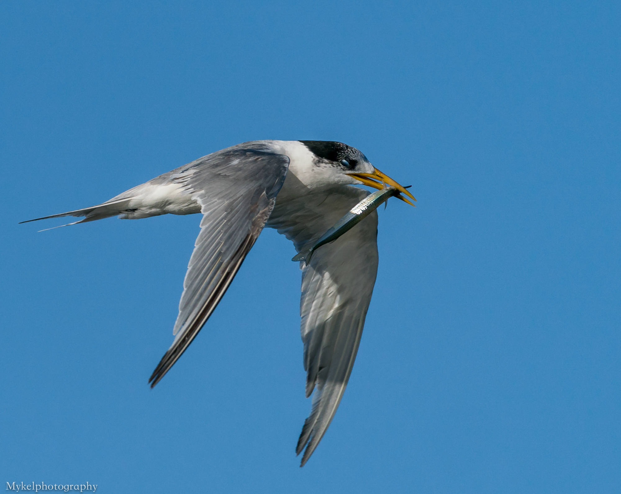 Crested Tern, Thalasseus bergii Laridae